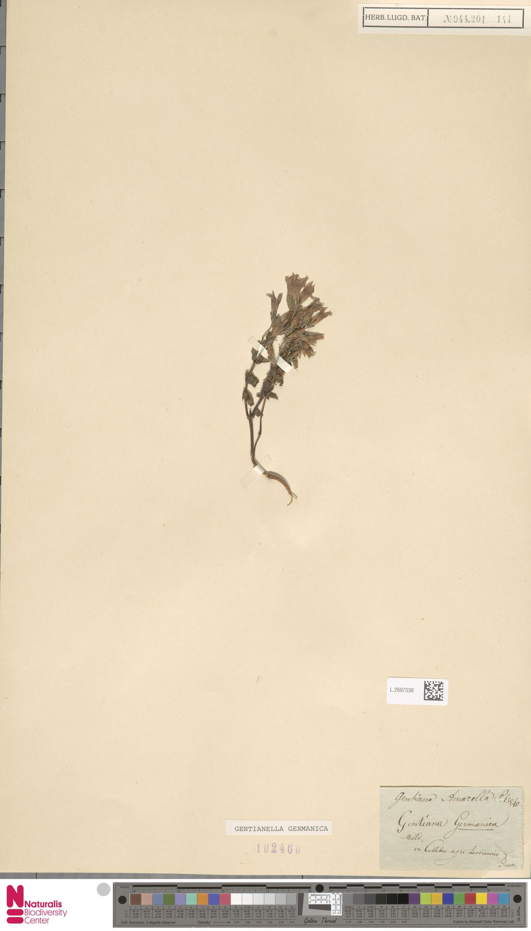 L.2697036 | Gentianella germanica (Willd.) E.F.Warb.