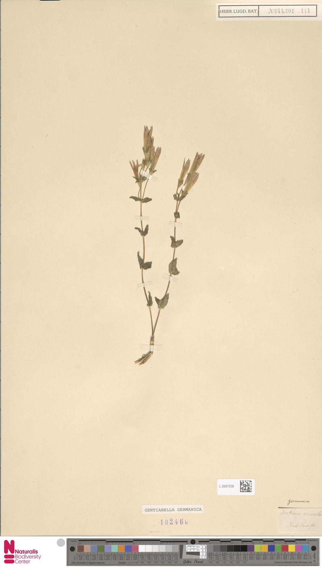 L.2697038 | Gentianella germanica (Willd.) E.F.Warb.