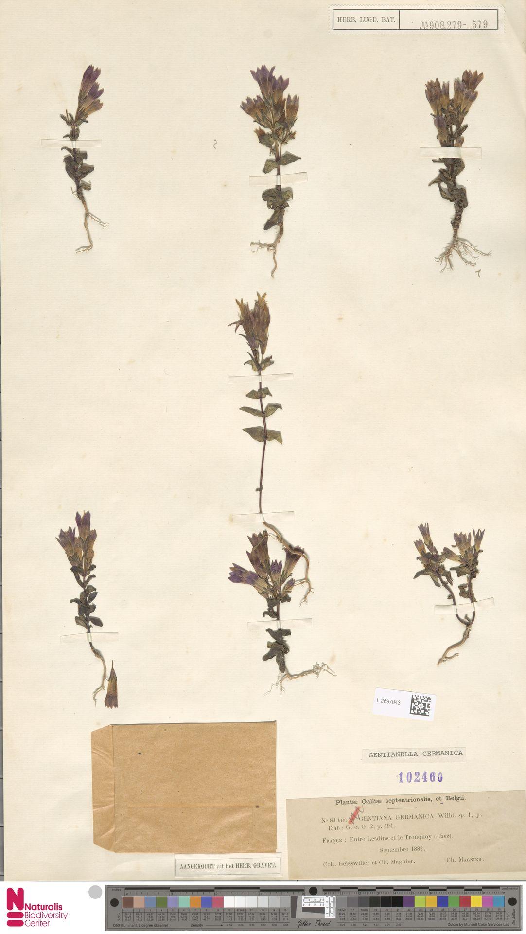 L.2697043 | Gentianella germanica (Willd.) E.F.Warb.