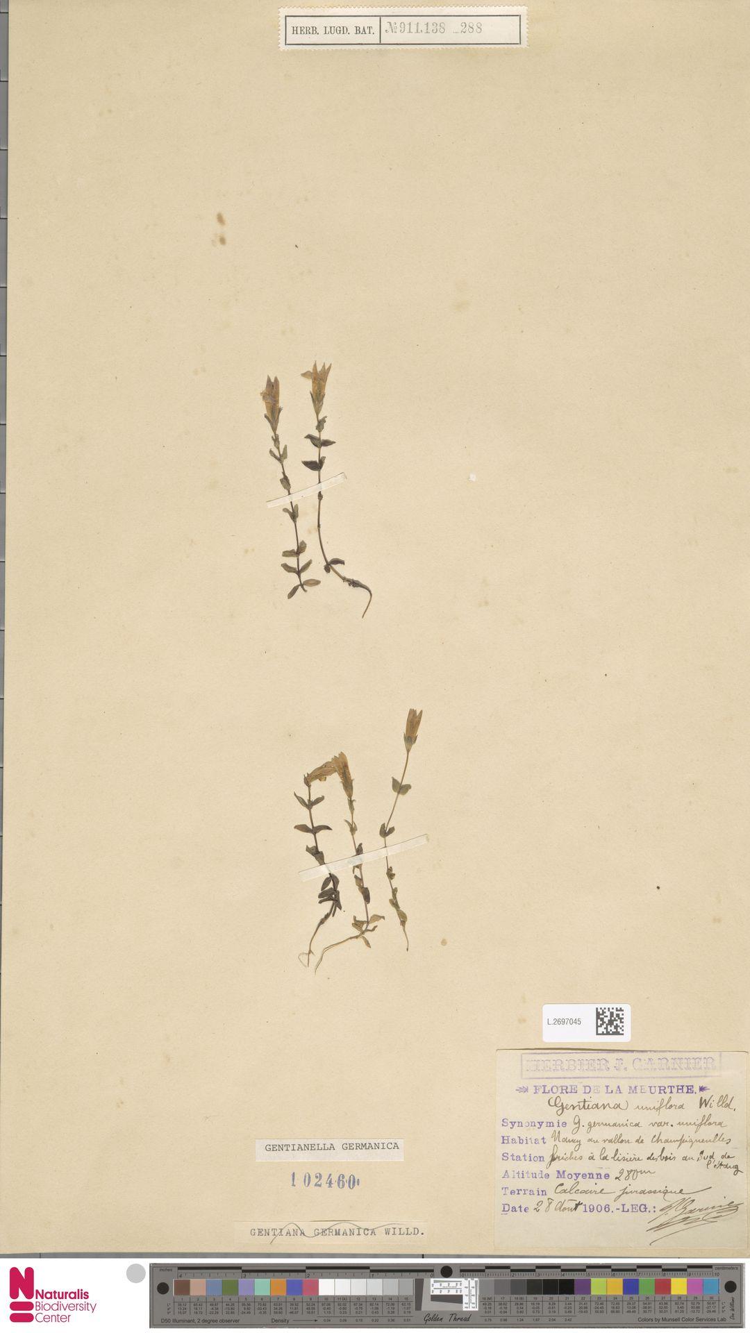L.2697045 | Gentianella germanica (Willd.) E.F.Warb.