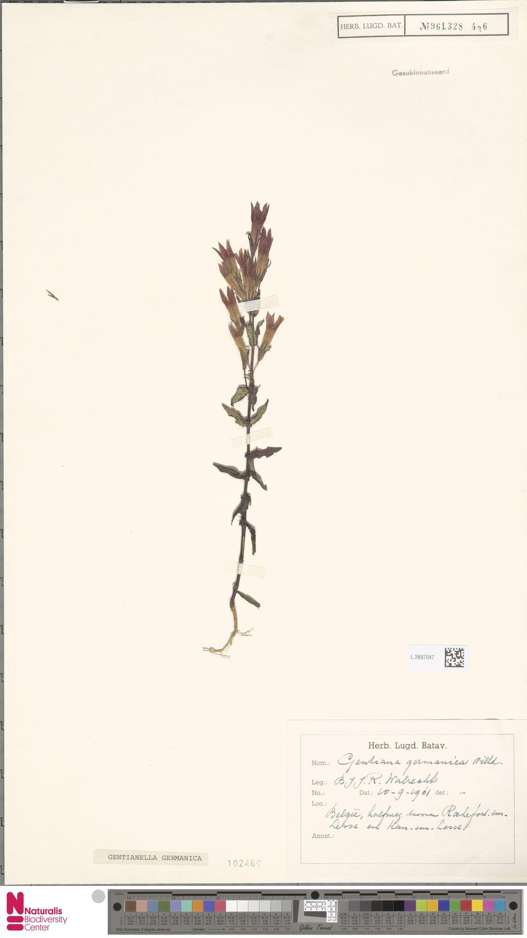 L.2697047 | Gentianella germanica (Willd.) E.F.Warb.