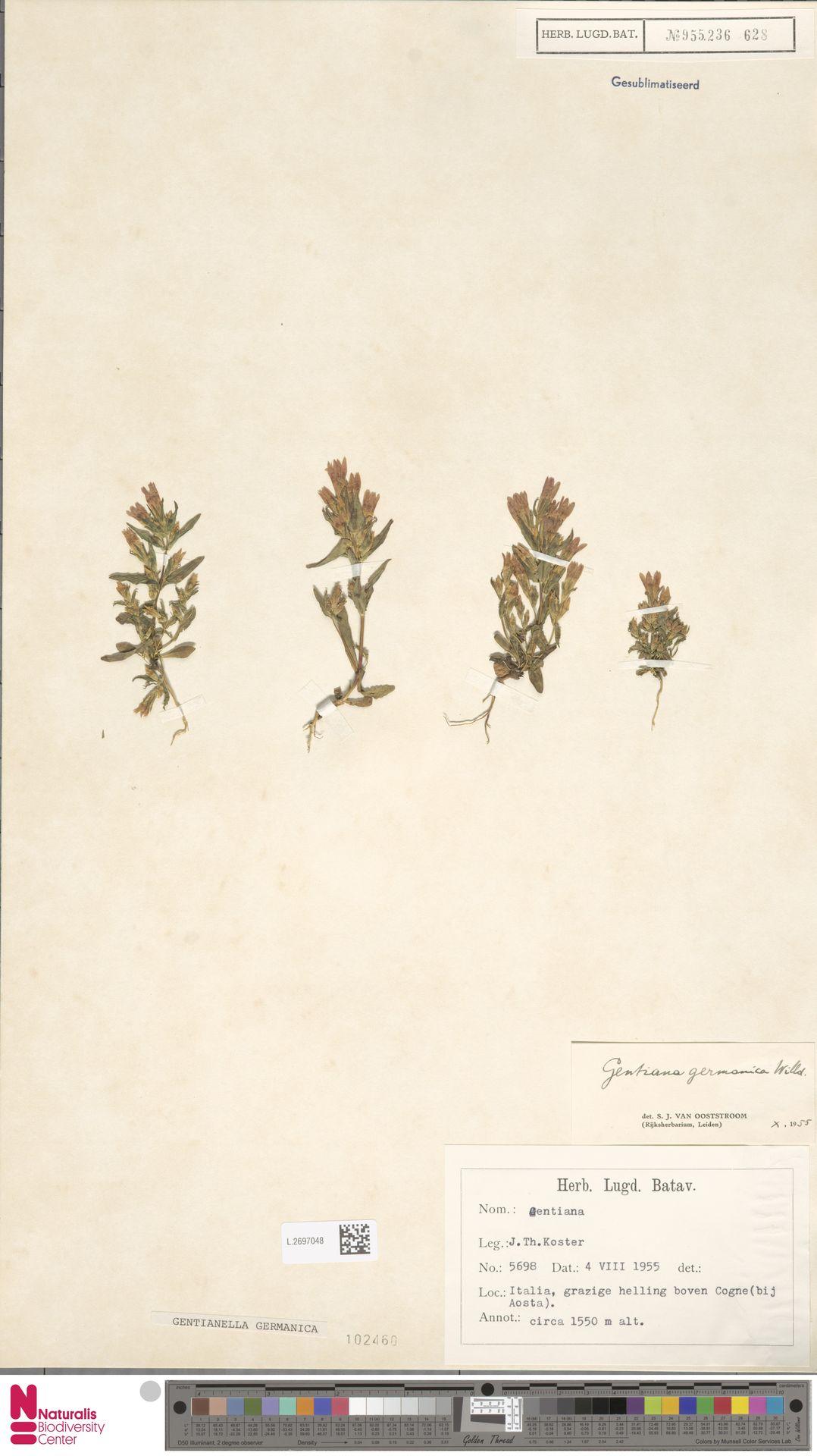 L.2697048 | Gentianella germanica (Willd.) E.F.Warb.