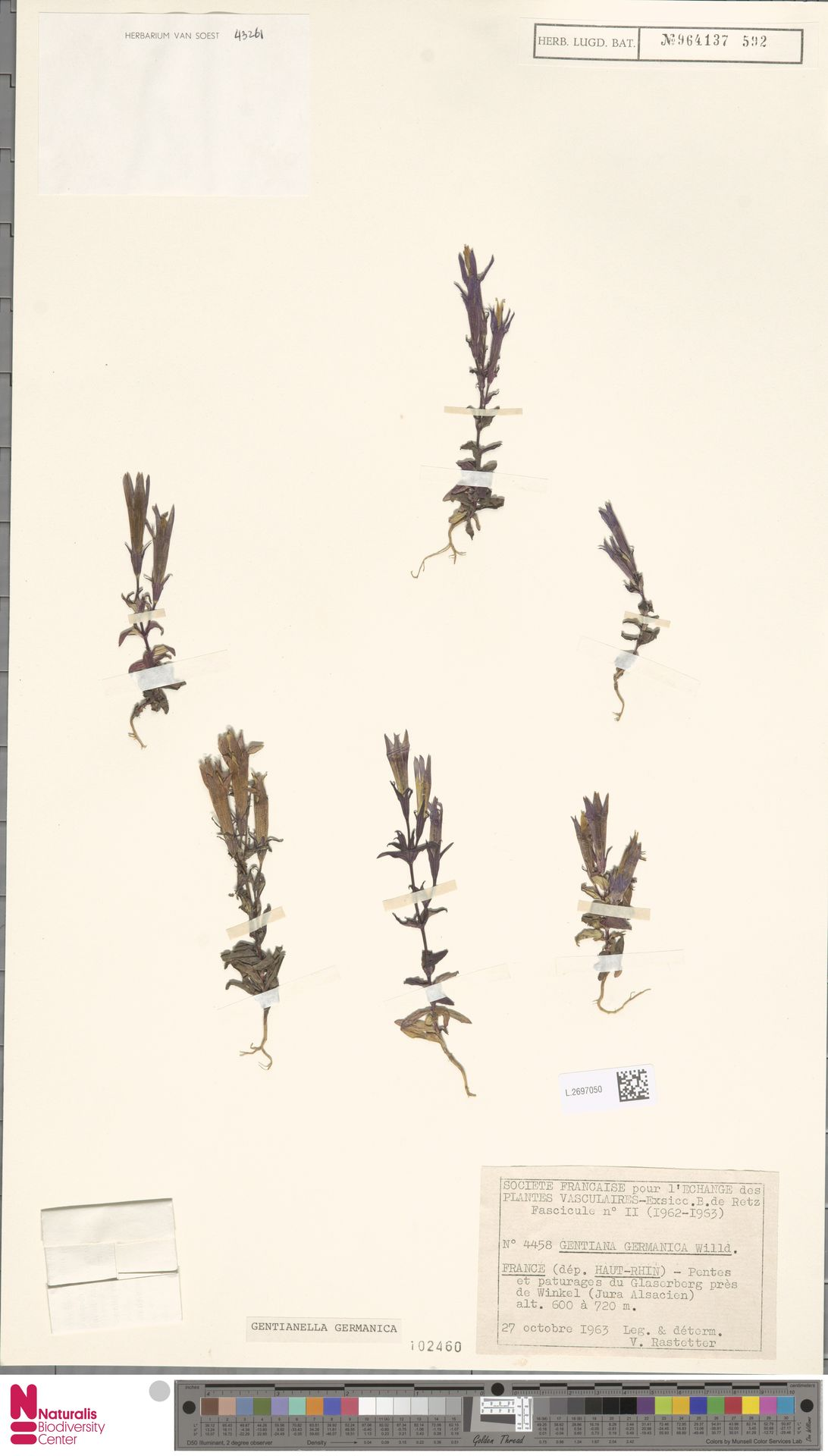 L.2697050 | Gentianella germanica (Willd.) E.F.Warb.