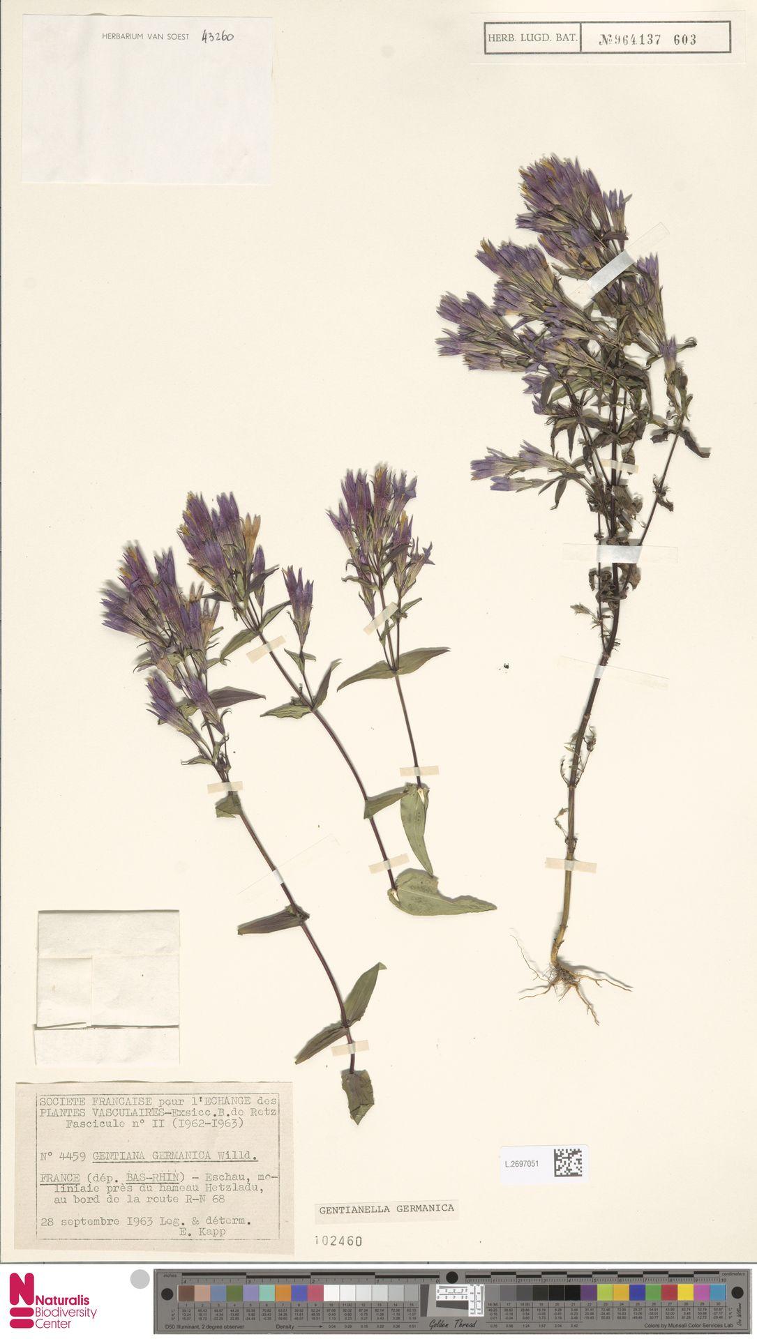 L.2697051 | Gentianella germanica (Willd.) E.F.Warb.