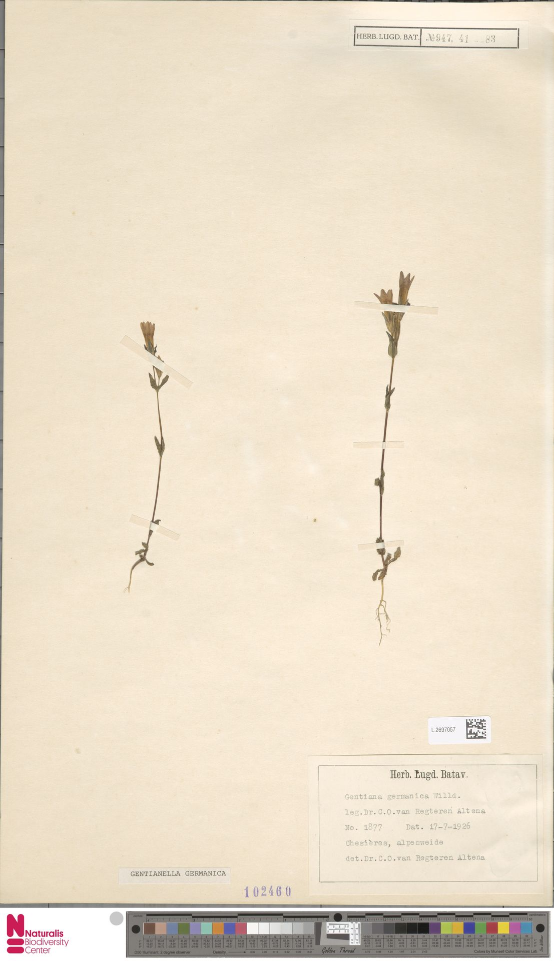 L.2697057 | Gentianella germanica (Willd.) E.F.Warb.