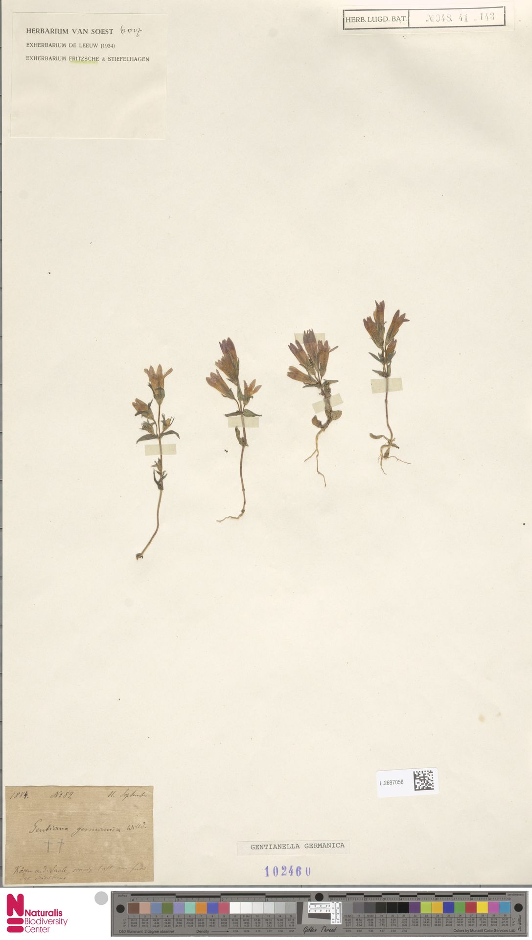 L.2697058   Gentianella germanica (Willd.) E.F.Warb.