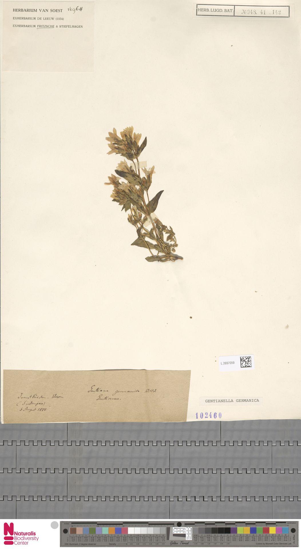 L.2697059   Gentianella germanica (Willd.) E.F.Warb.