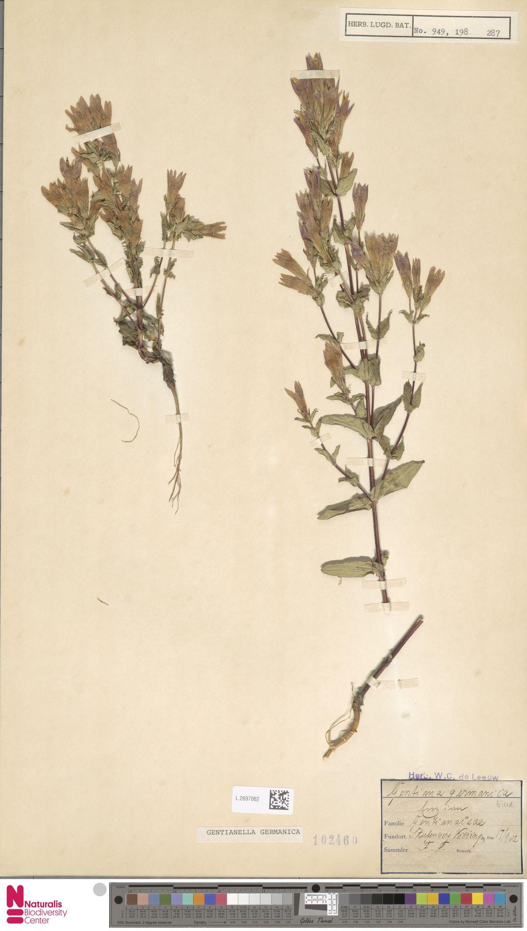 L.2697062 | Gentianella germanica (Willd.) E.F.Warb.