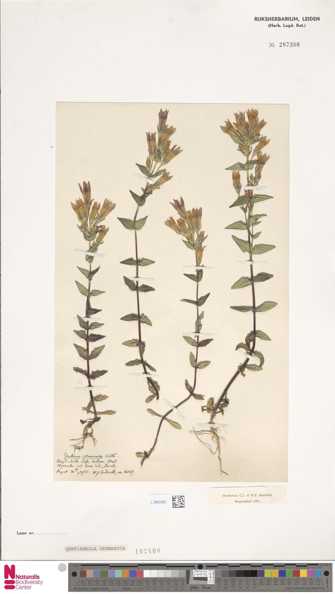 L.2697063 | Gentianella germanica (Willd.) E.F.Warb.