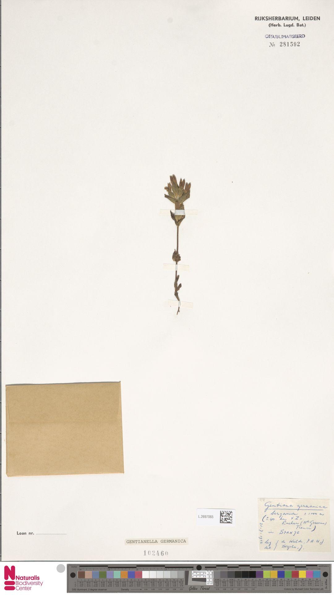 L.2697065 | Gentianella germanica (Willd.) E.F.Warb.