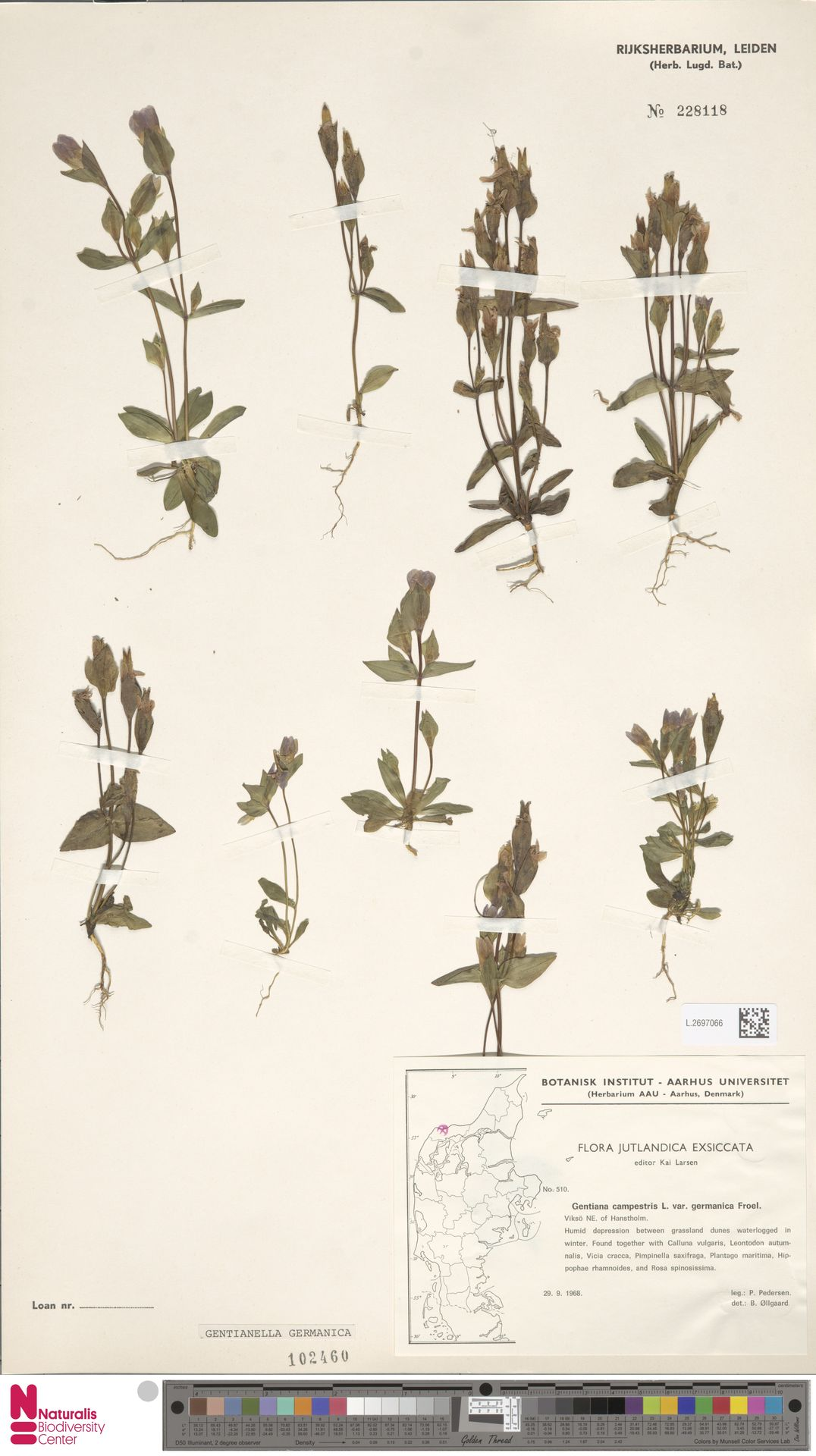 L.2697066 | Gentianella germanica (Willd.) E.F.Warb.