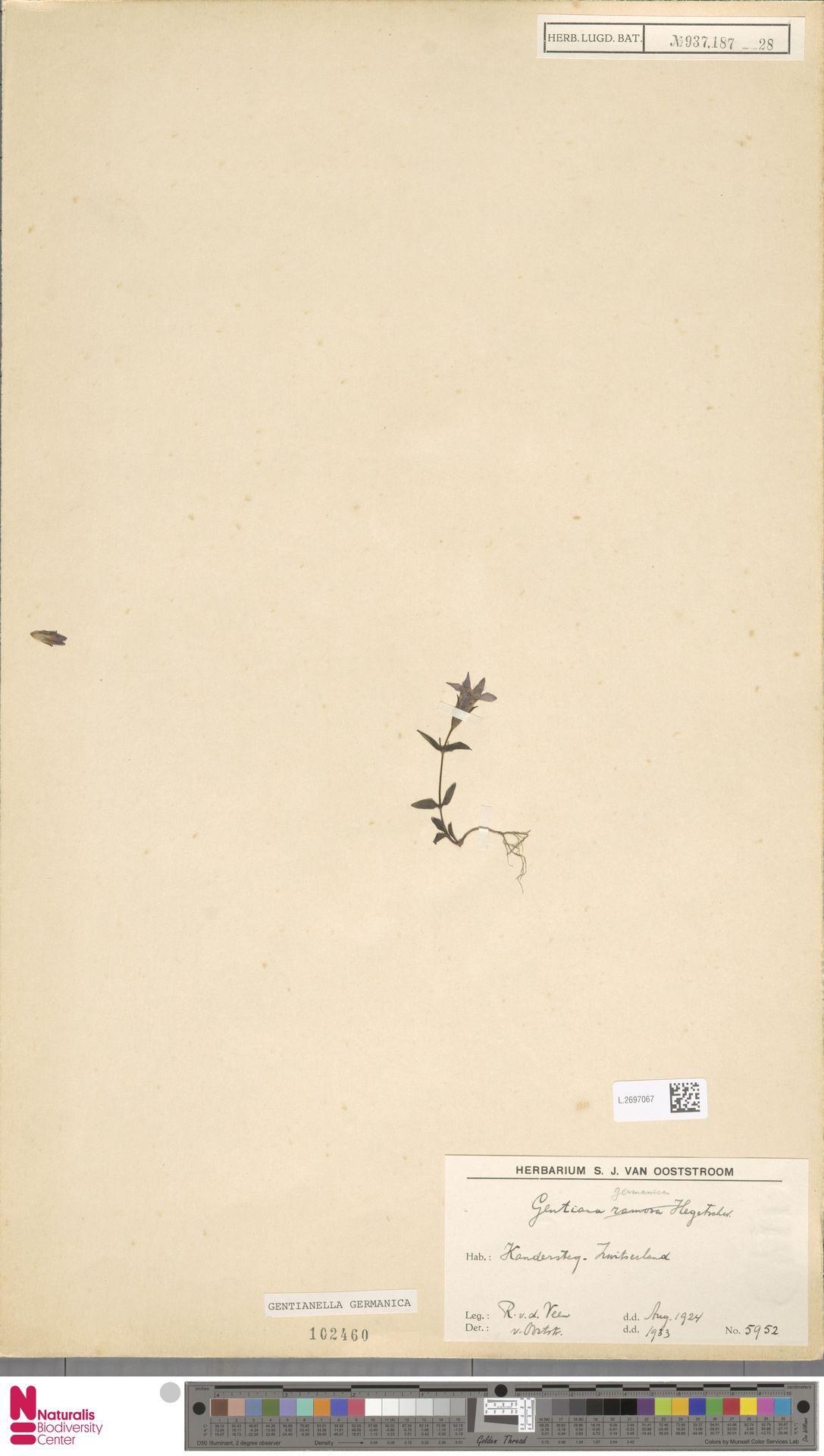 L.2697067 | Gentianella germanica (Willd.) E.F.Warb.