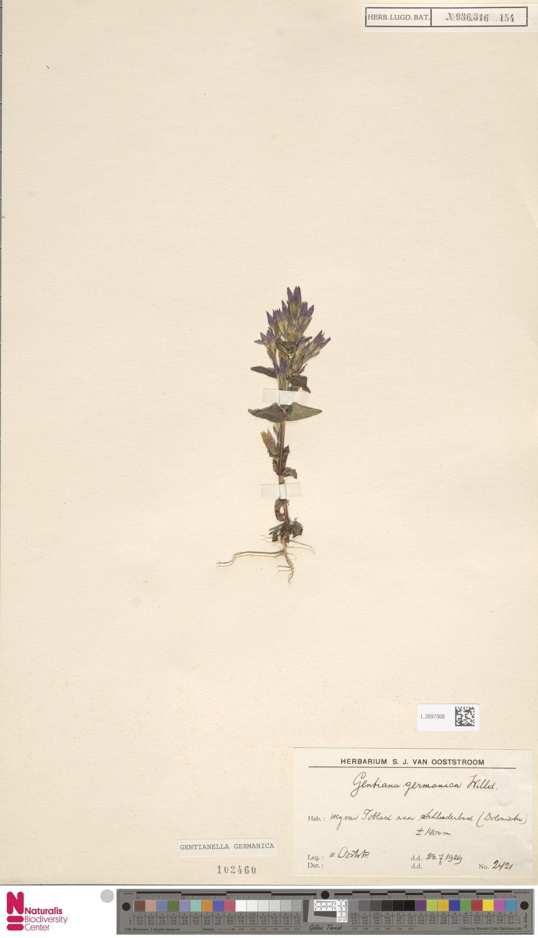 L.2697068 | Gentianella germanica (Willd.) E.F.Warb.