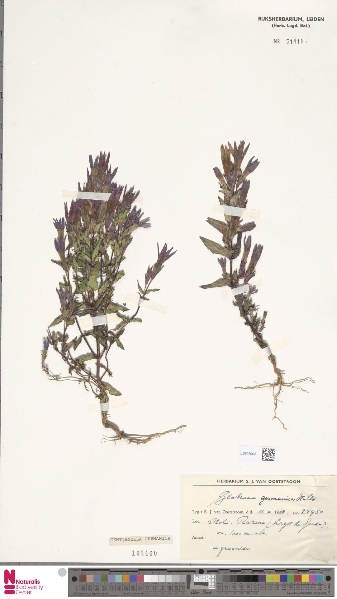 L.2697069 | Gentianella germanica (Willd.) E.F.Warb.