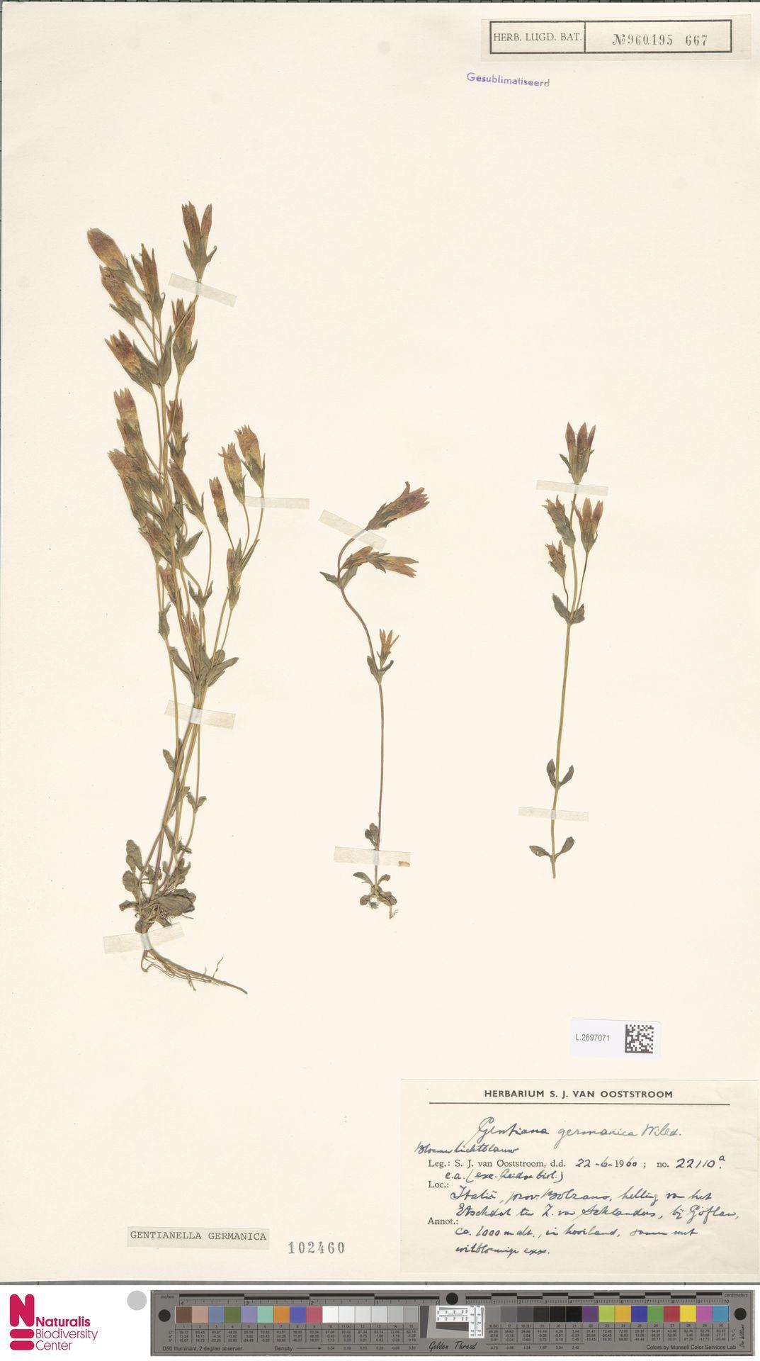 L.2697071 | Gentianella germanica (Willd.) E.F.Warb.