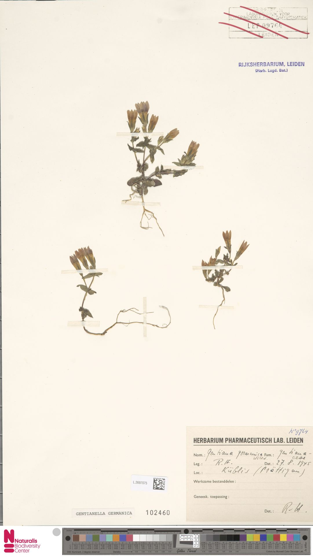 L.2697075 | Gentianella germanica (Willd.) E.F.Warb.