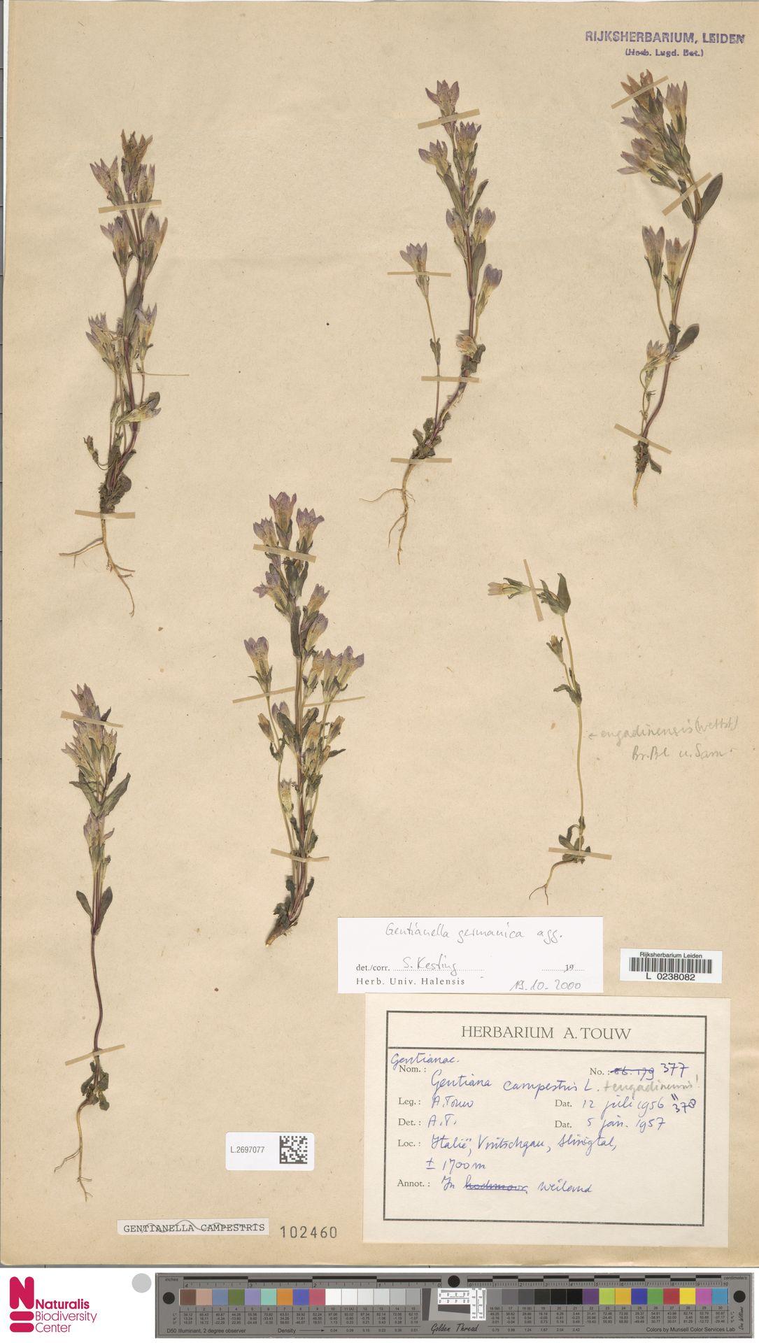 L.2697077 | Gentianella germanica (Willd.) E.F.Warb.