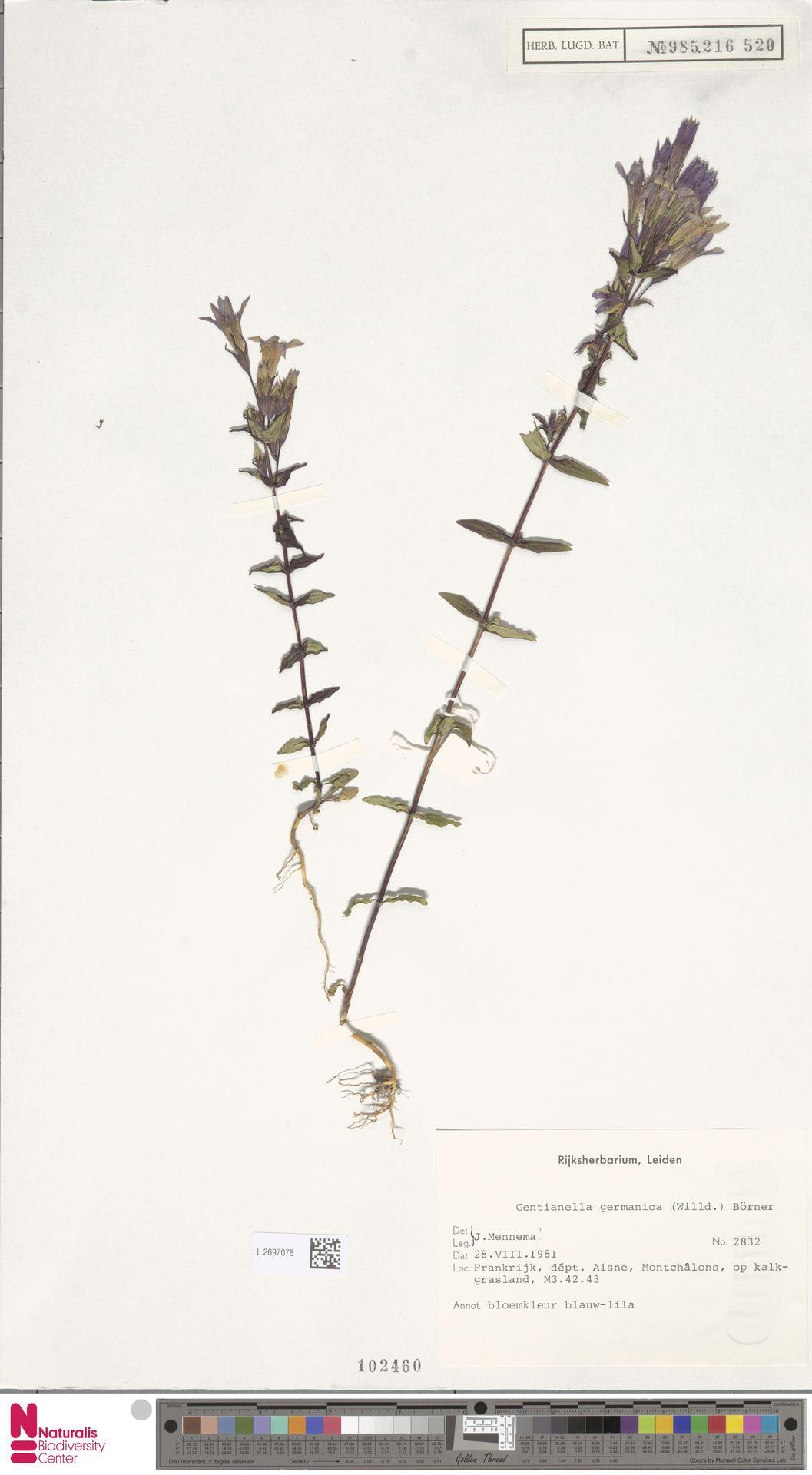 L.2697078 | Gentianella germanica (Willd.) E.F.Warb.