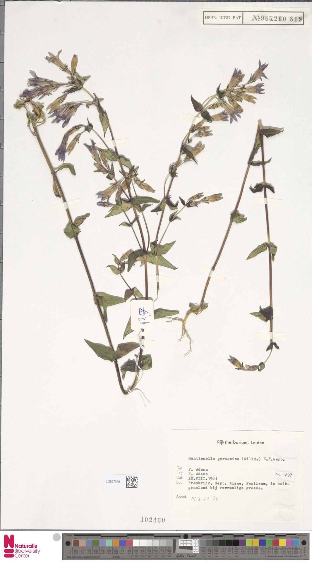 L.2697079 | Gentianella germanica (Willd.) E.F.Warb.