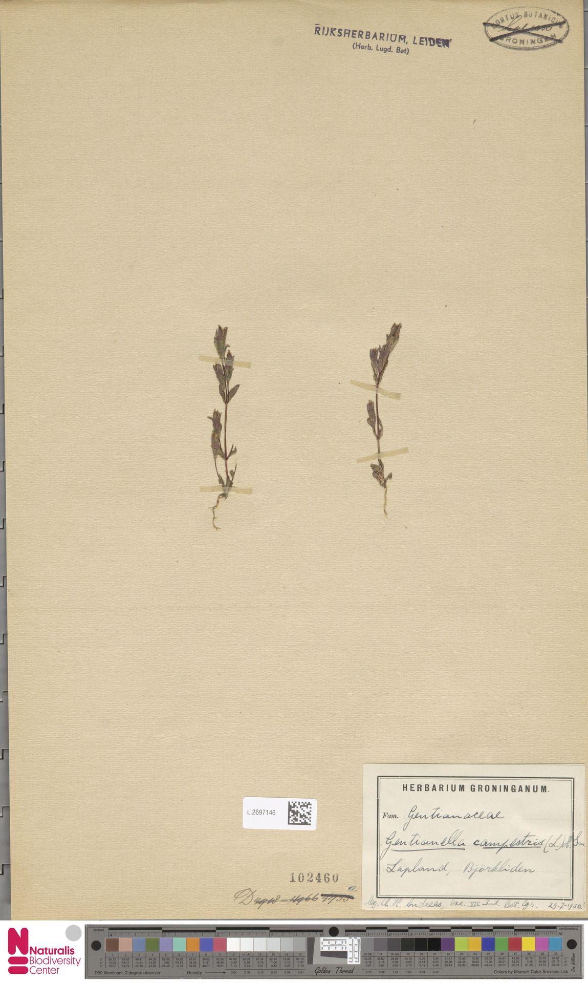 L.2697146   Gentianella campestris (L.) Börner