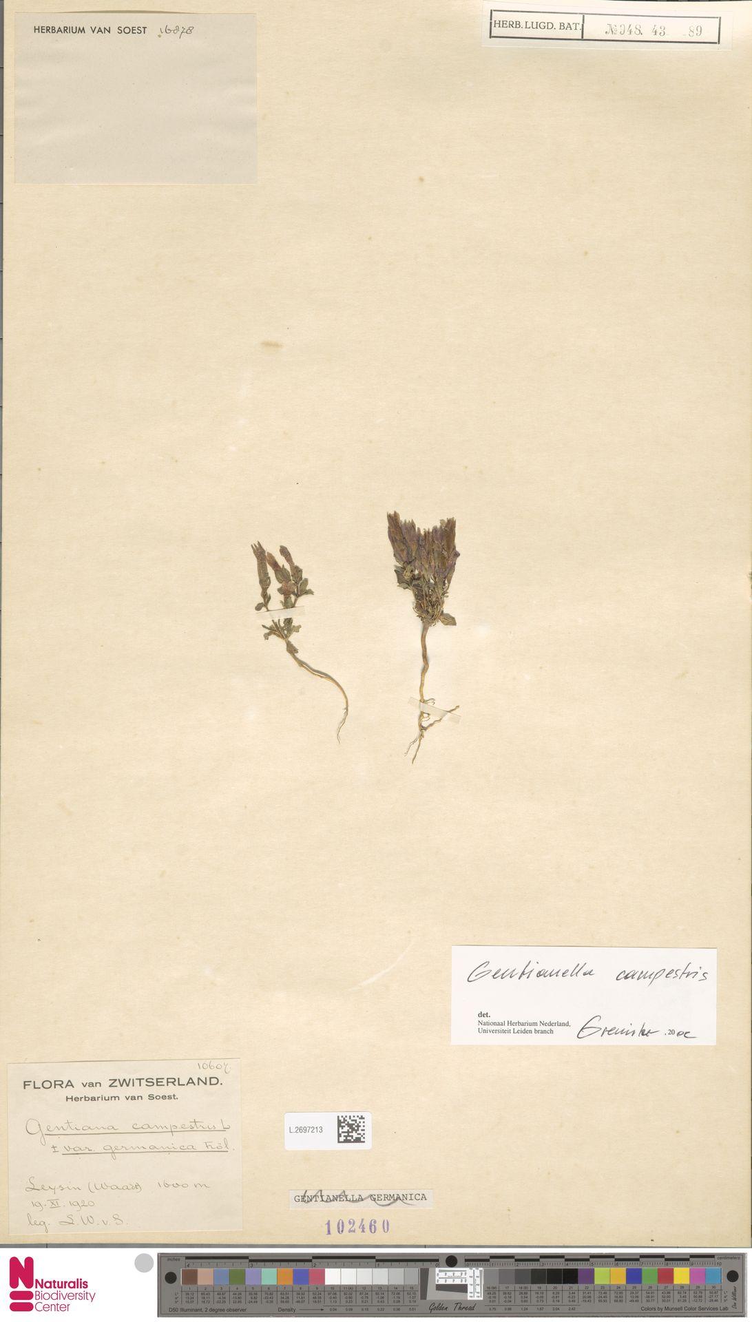 L.2697213 | Gentianella campestris (L.) Börner