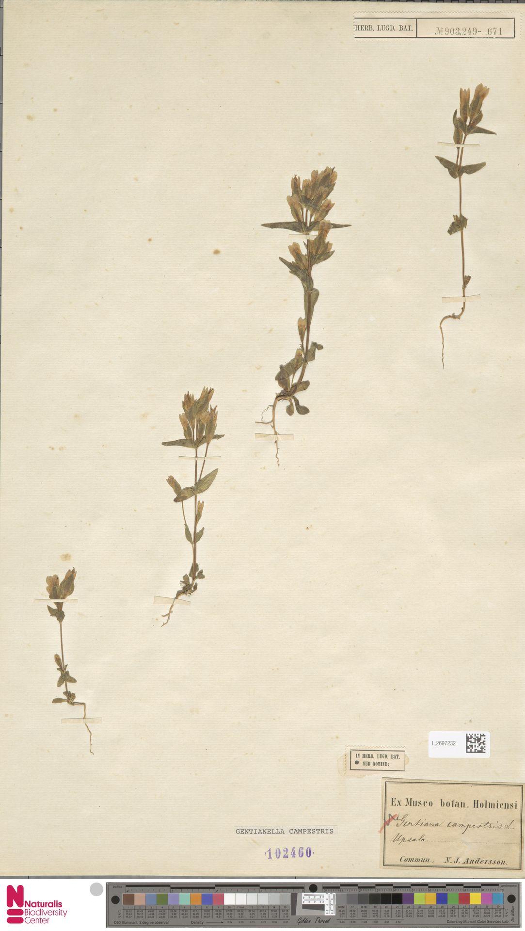 L.2697232 | Gentianella campestris (L.) Börner