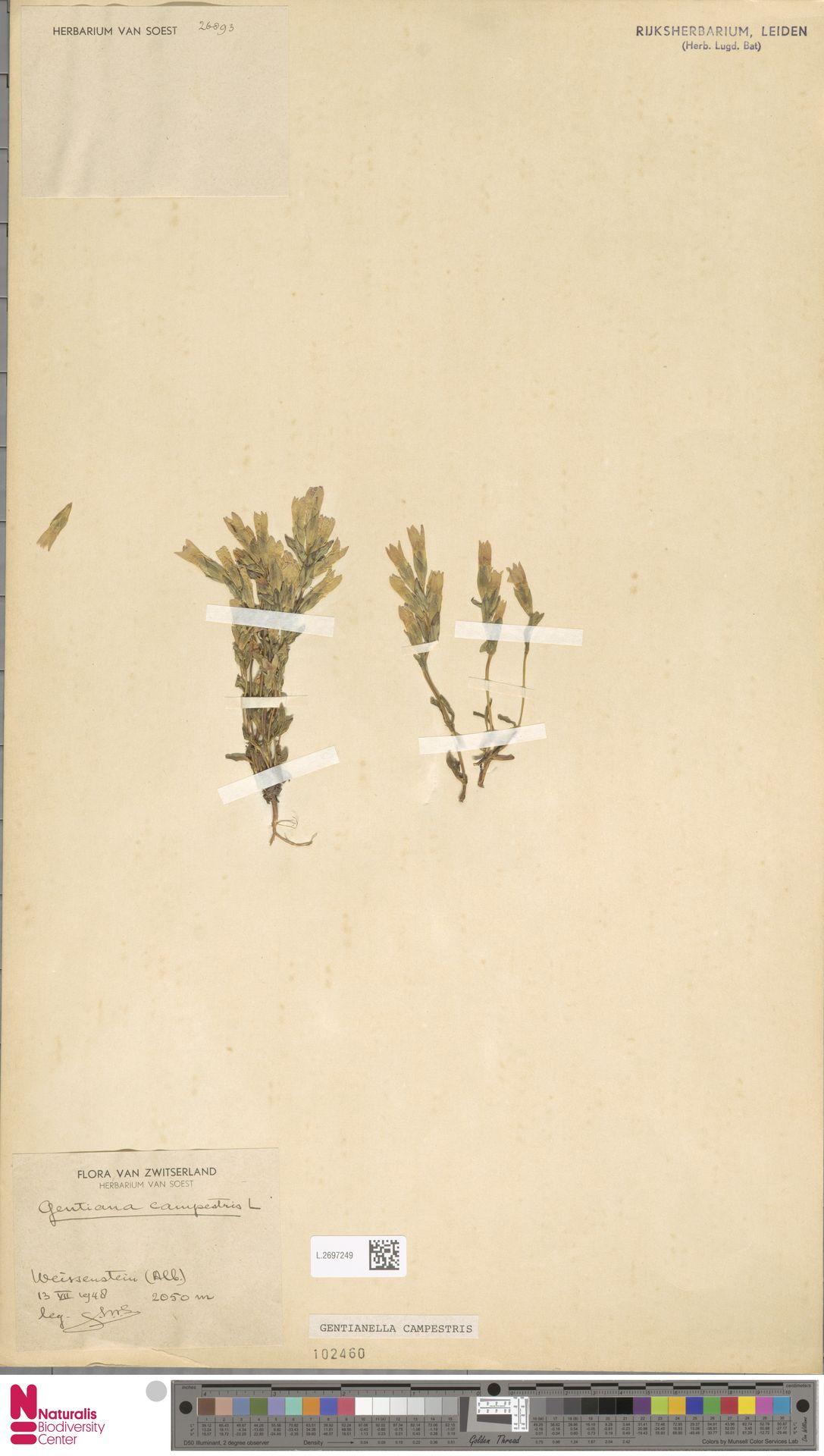 L.2697249 | Gentianella campestris (L.) Börner