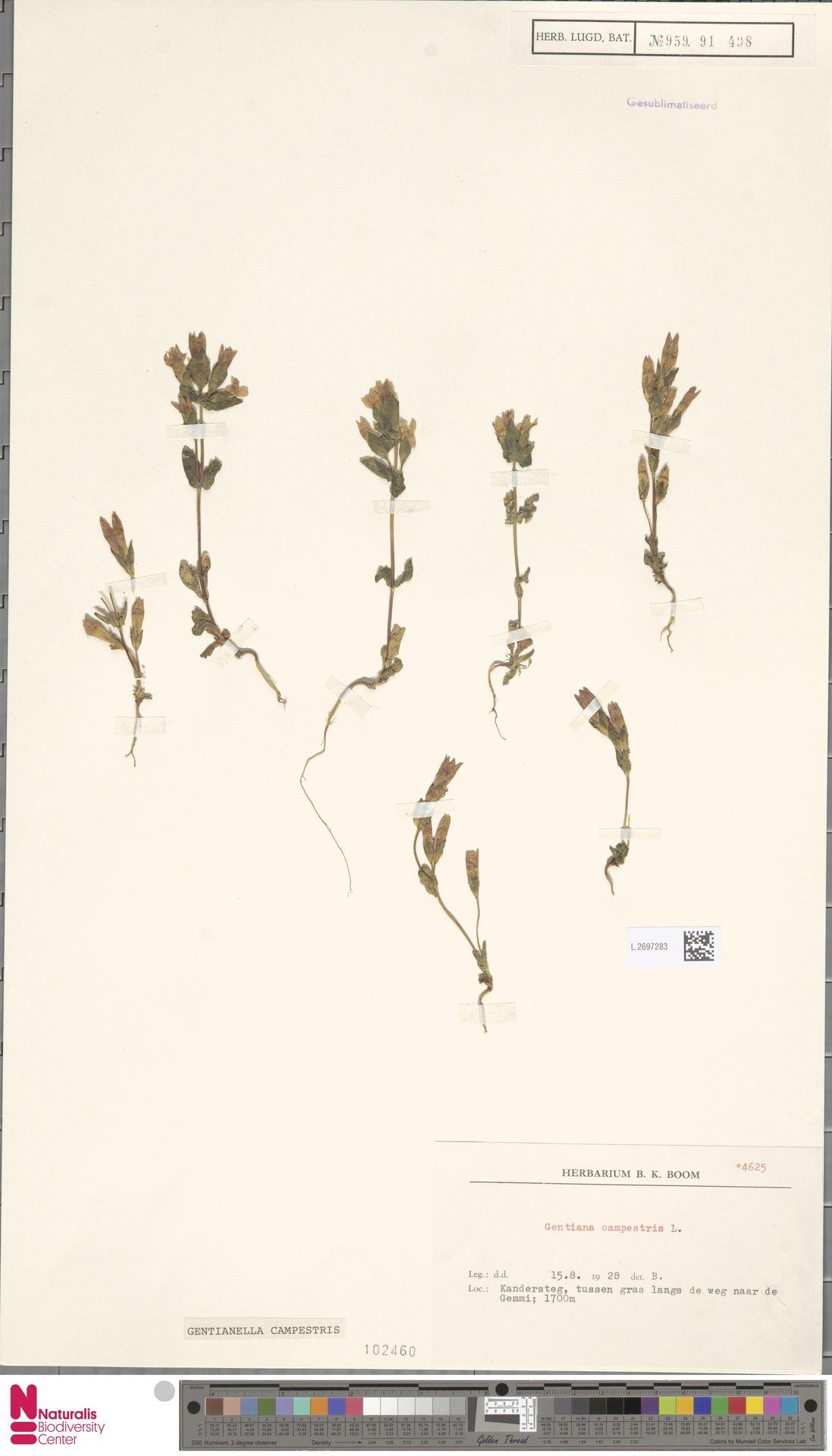 L.2697283 | Gentianella campestris (L.) Börner