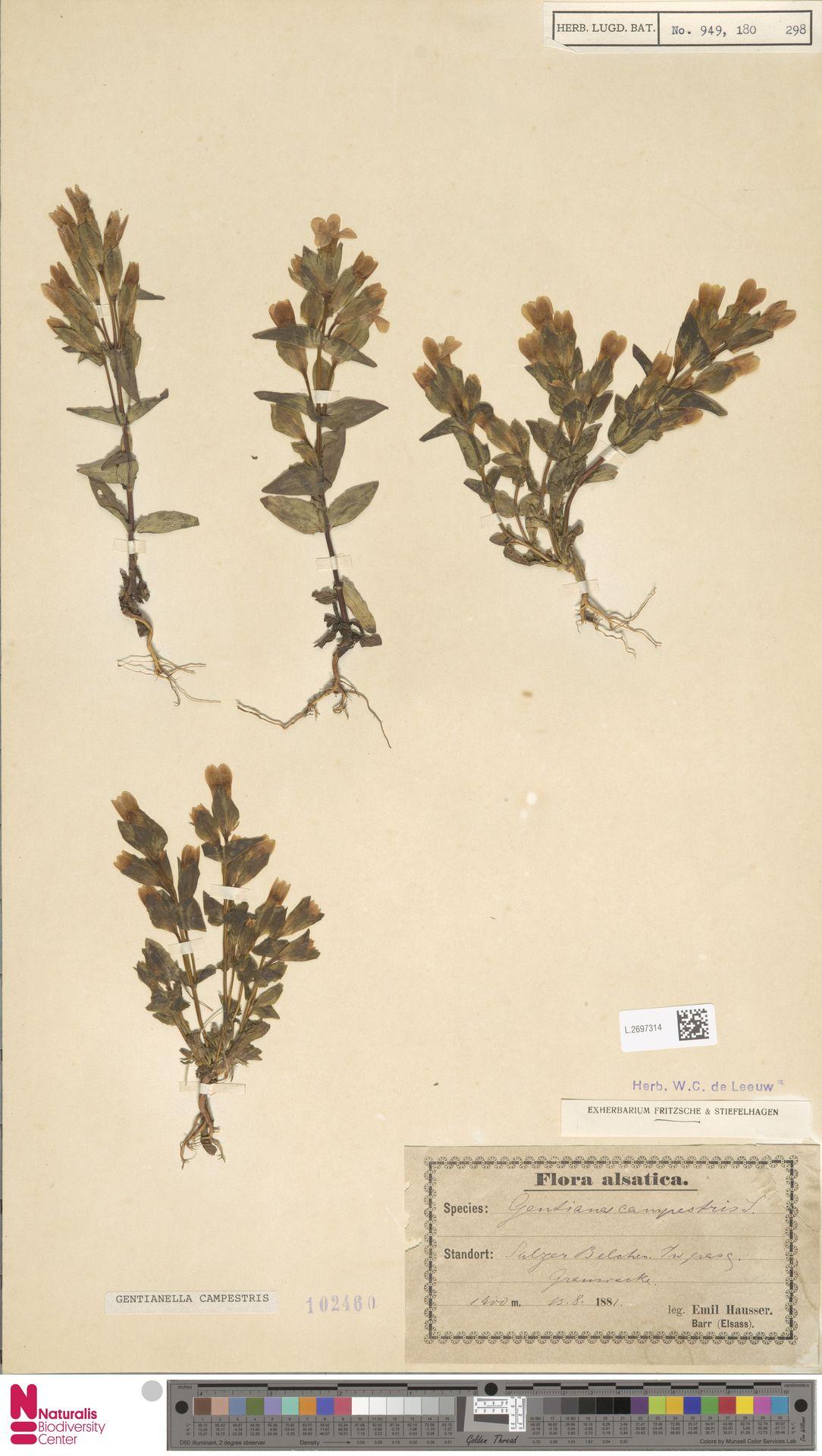 L.2697314 | Gentianella campestris (L.) Börner
