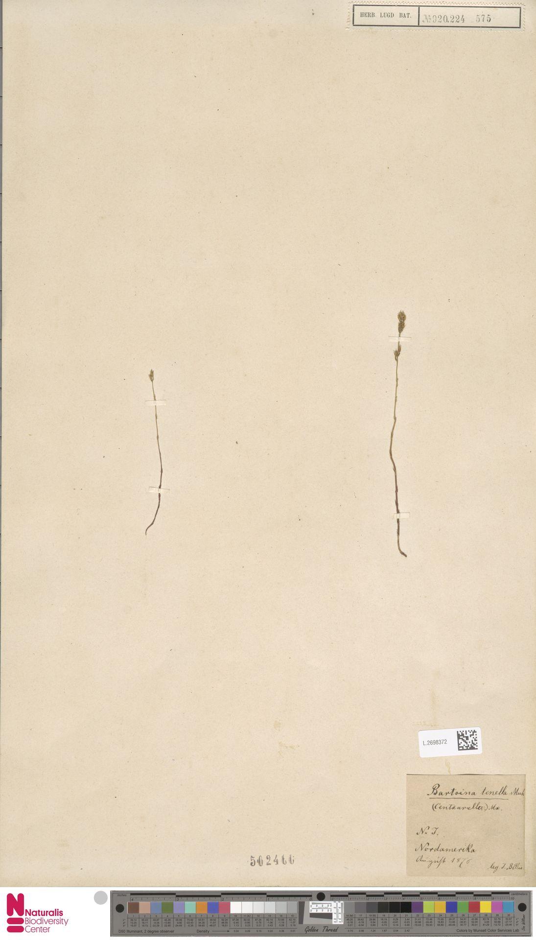 L.2698372 | Bartonia tenella Muhl. ex Willd.