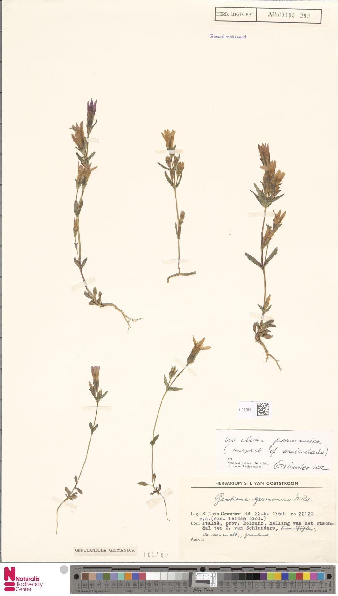 L.2700476 | Gentianella germanica (Willd.) E.F.Warb.