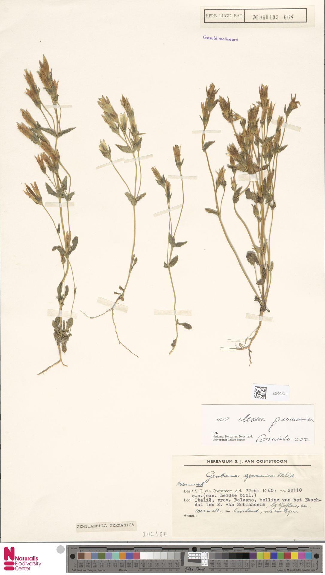 L.2700477 | Gentianella germanica (Willd.) E.F.Warb.