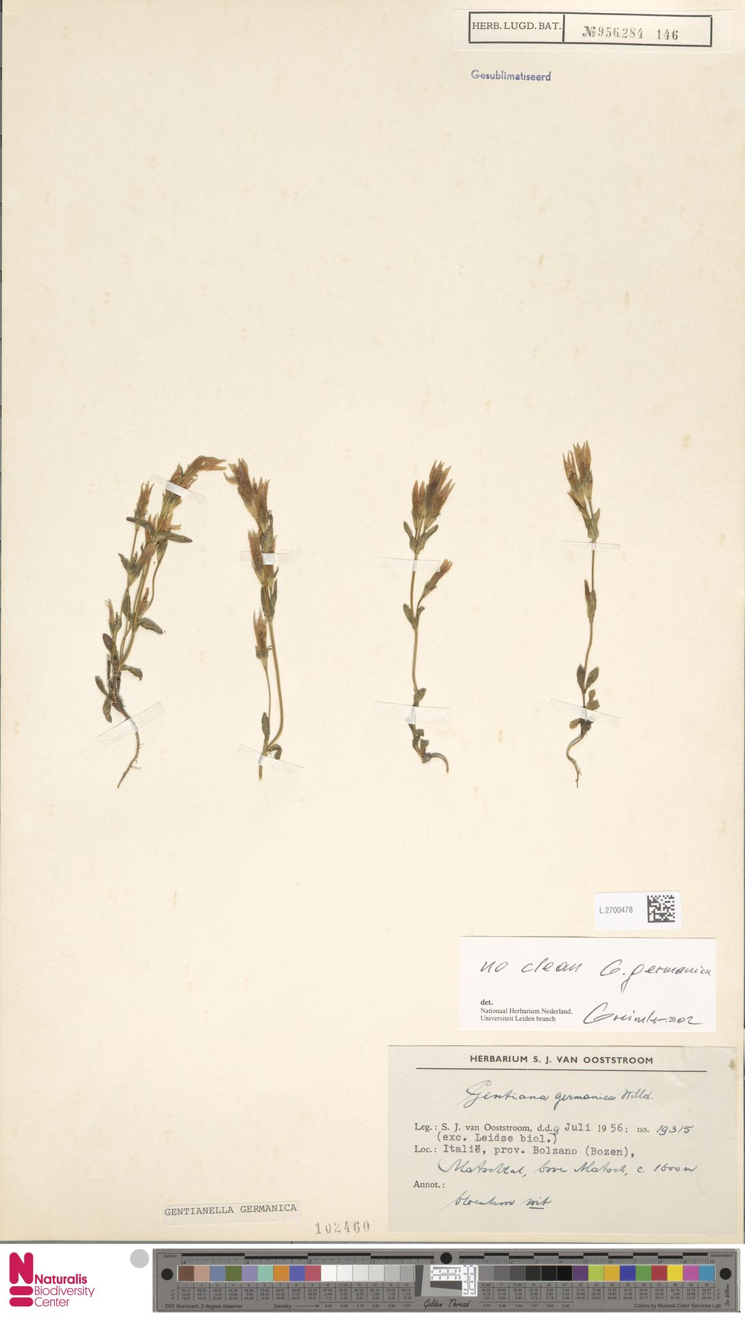L.2700478 | Gentianella germanica (Willd.) E.F.Warb.