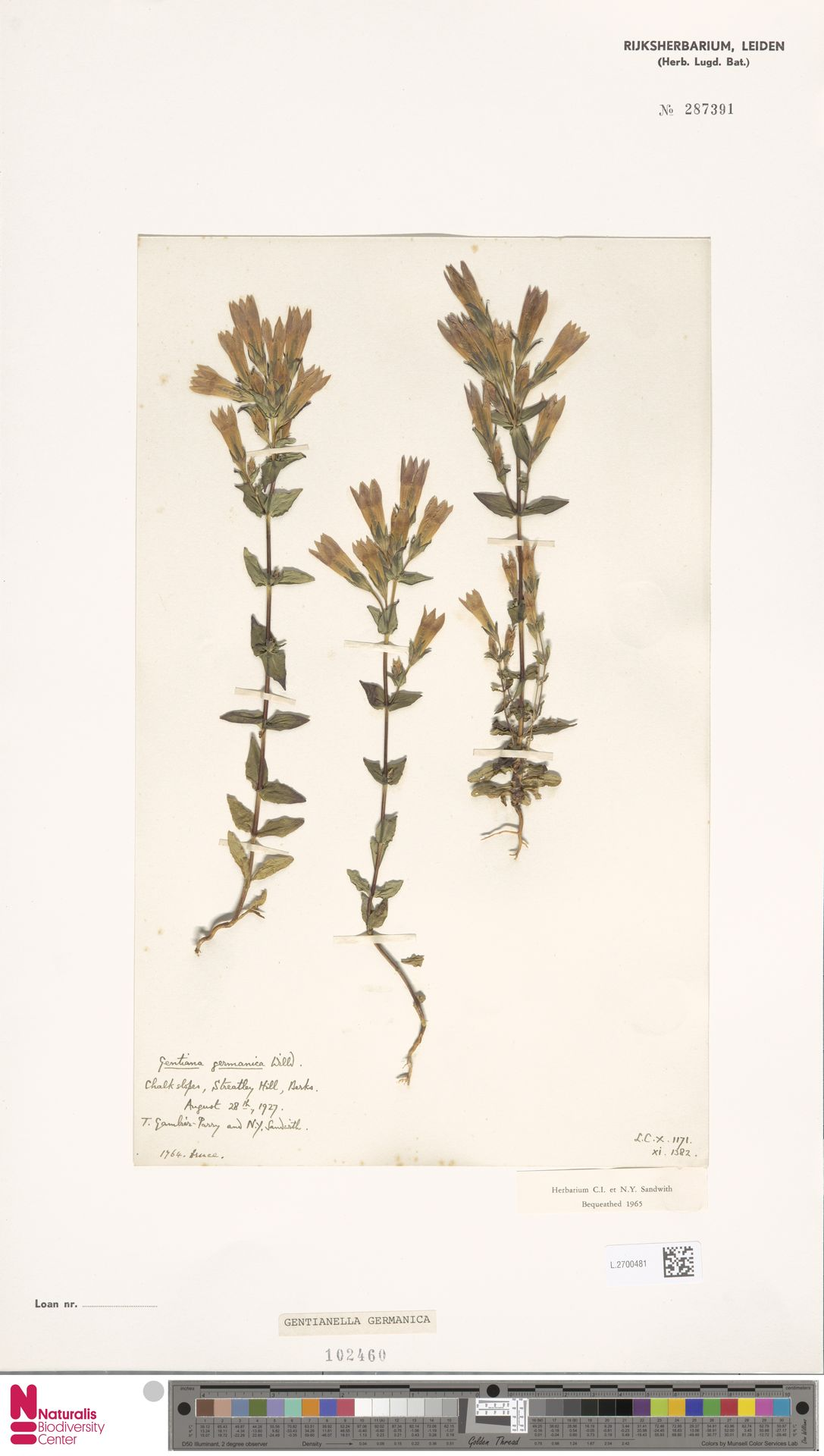 L.2700481 | Gentianella germanica (Willd.) E.F.Warb.