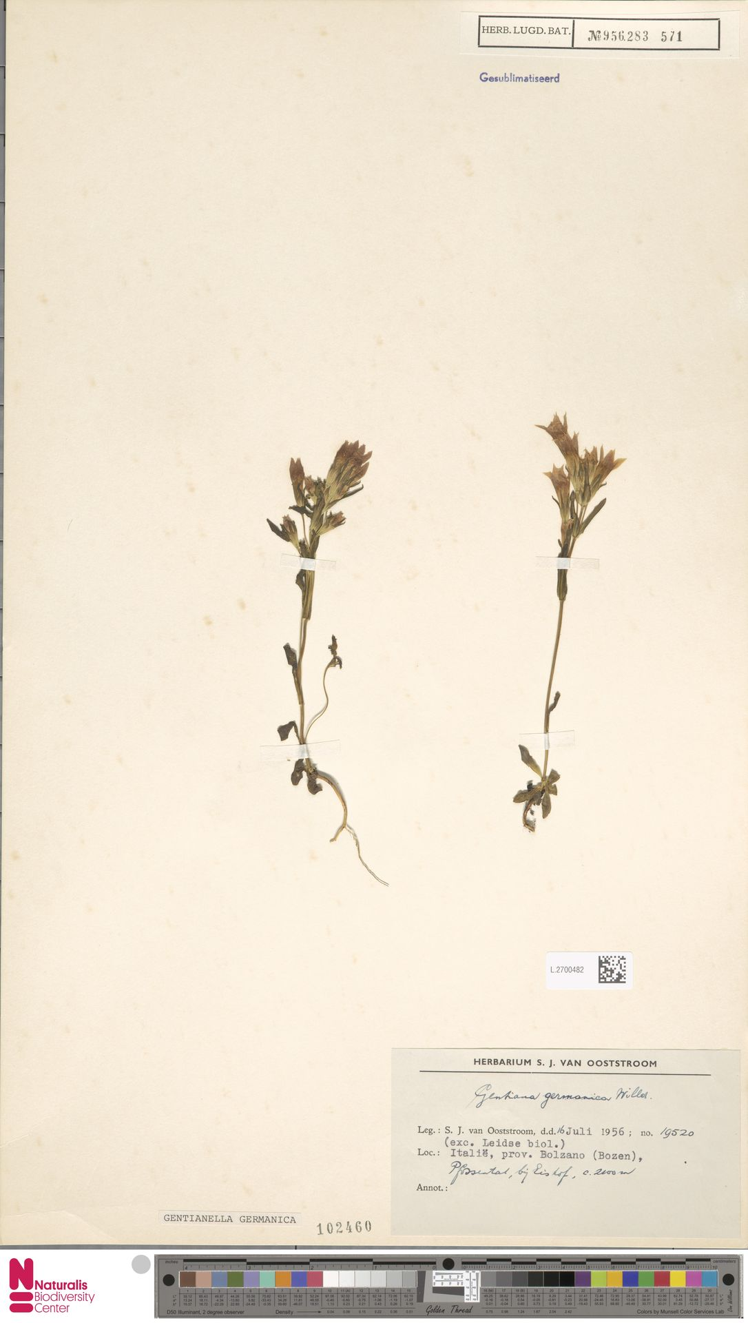 L.2700482 | Gentianella germanica (Willd.) E.F.Warb.