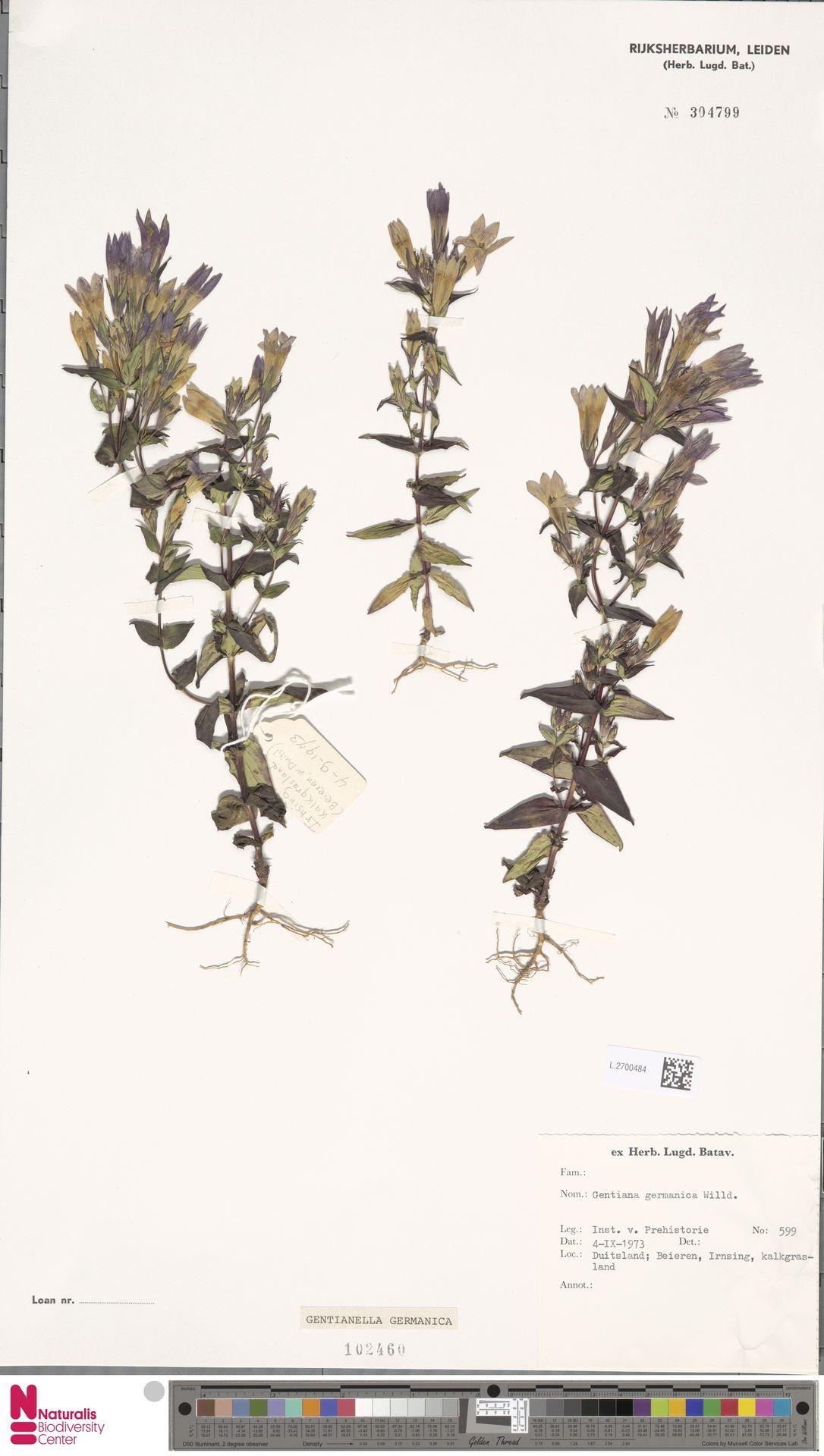 L.2700484 | Gentianella germanica (Willd.) E.F.Warb.