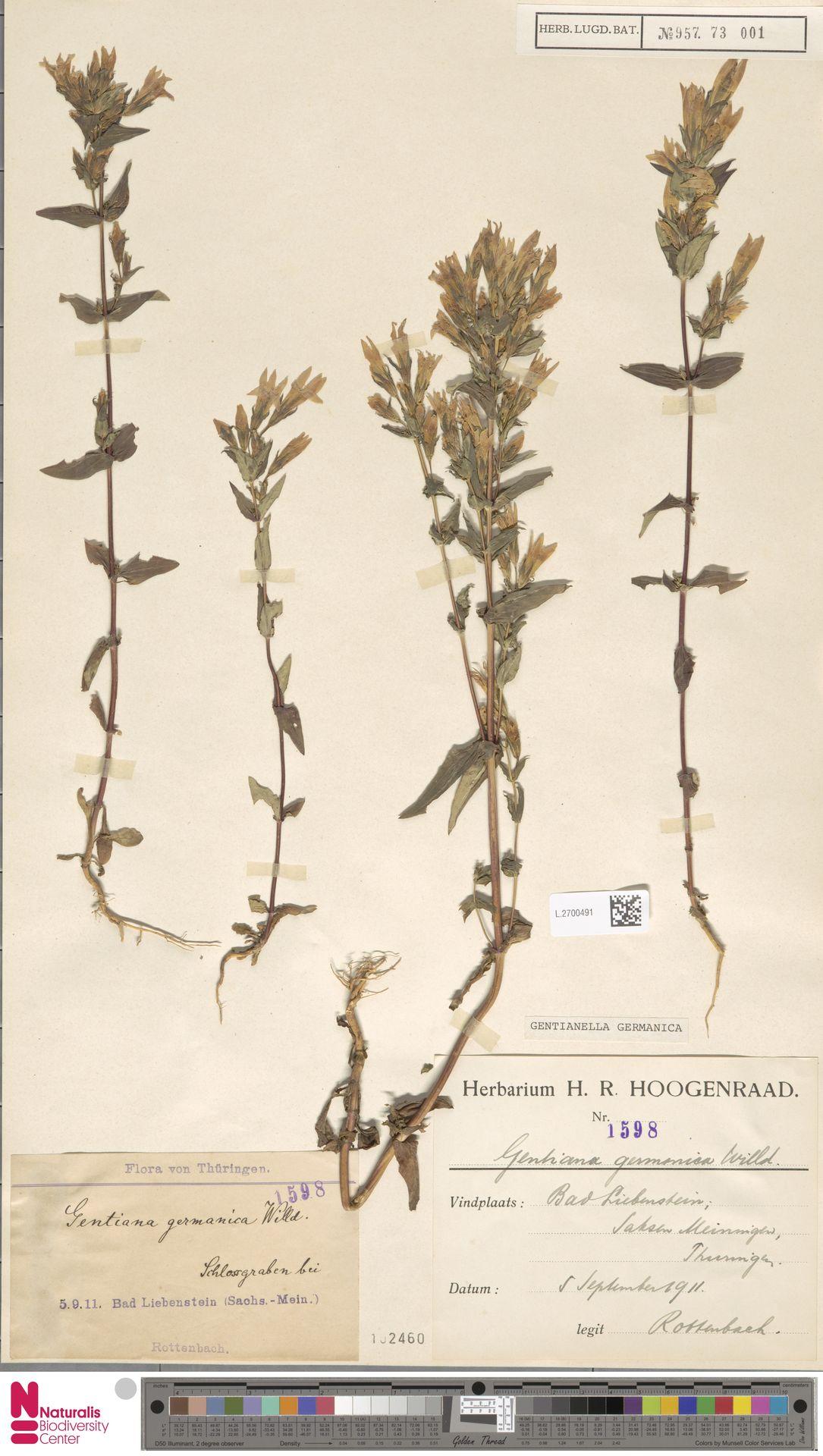 L.2700491 | Gentianella germanica (Willd.) E.F.Warb.
