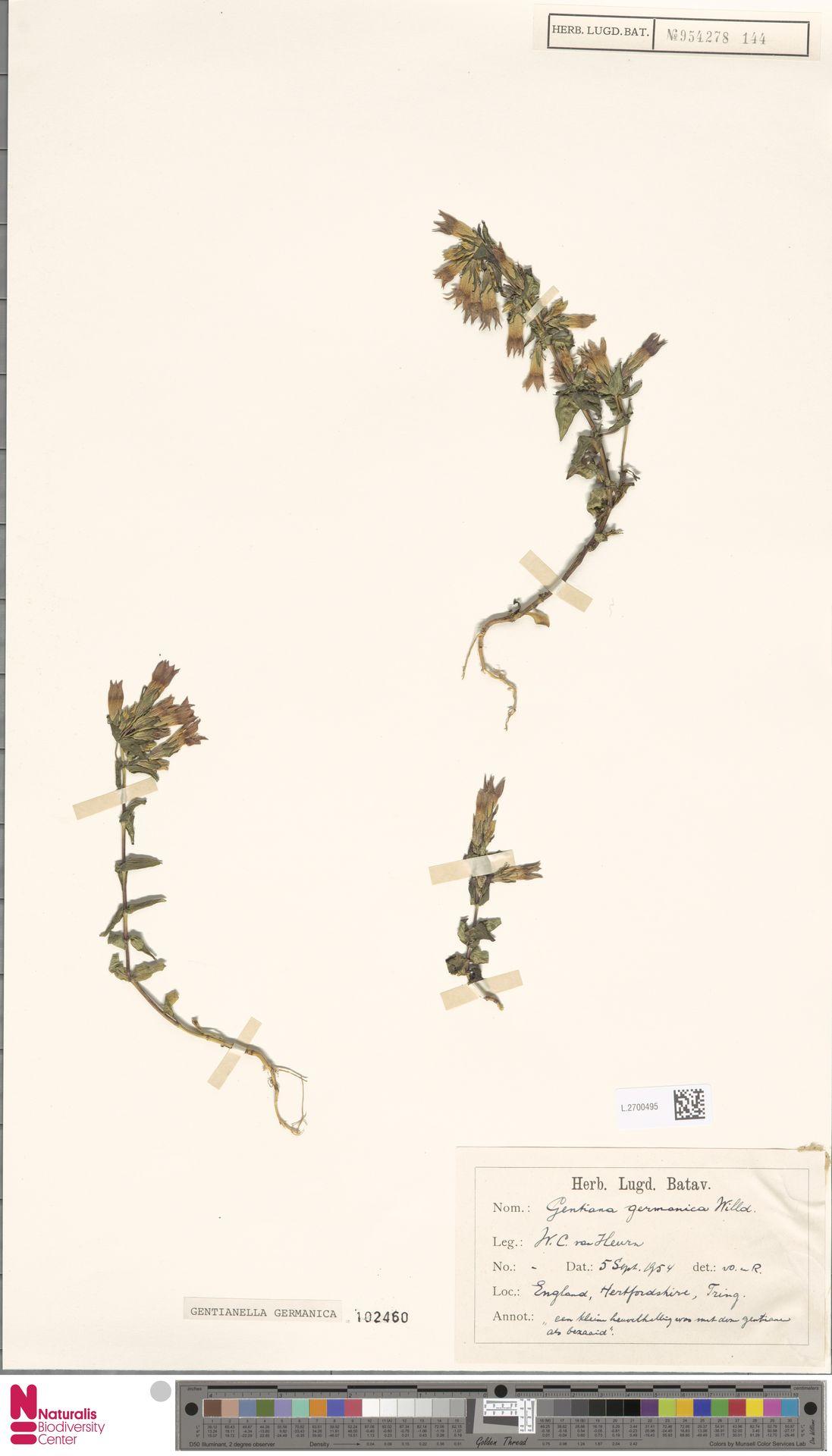 L.2700495 | Gentianella germanica (Willd.) E.F.Warb.