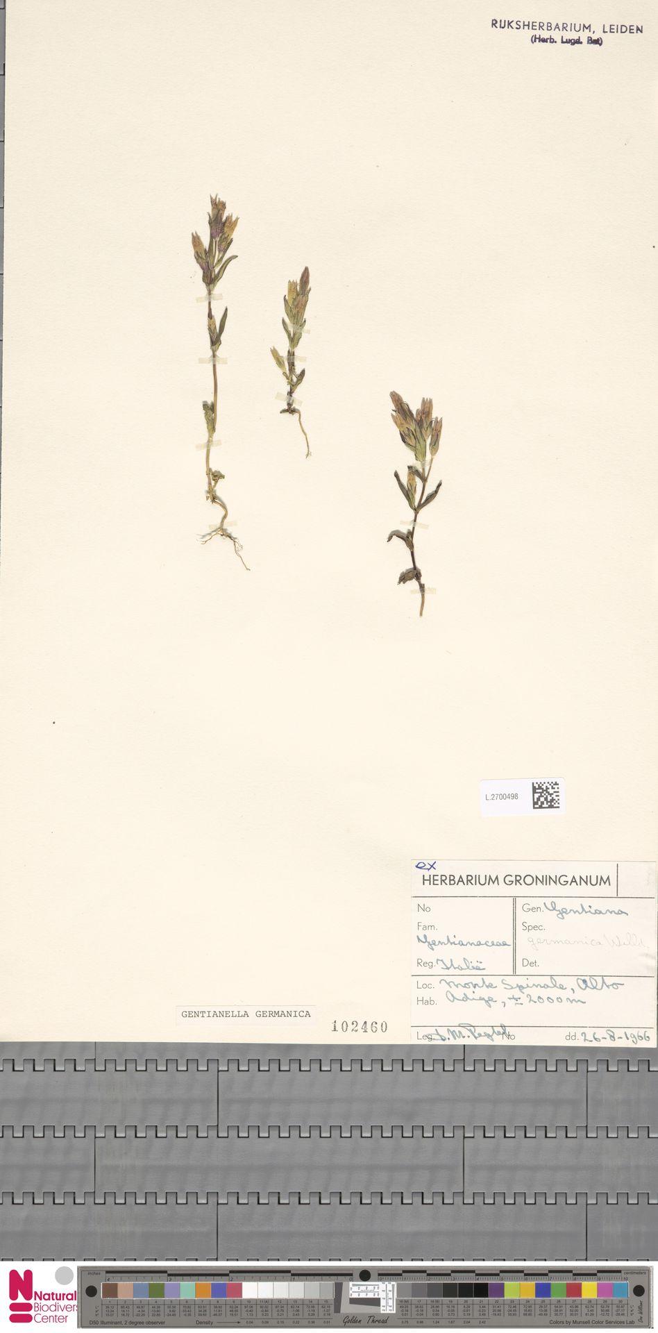 L.2700498 | Gentianella germanica (Willd.) E.F.Warb.