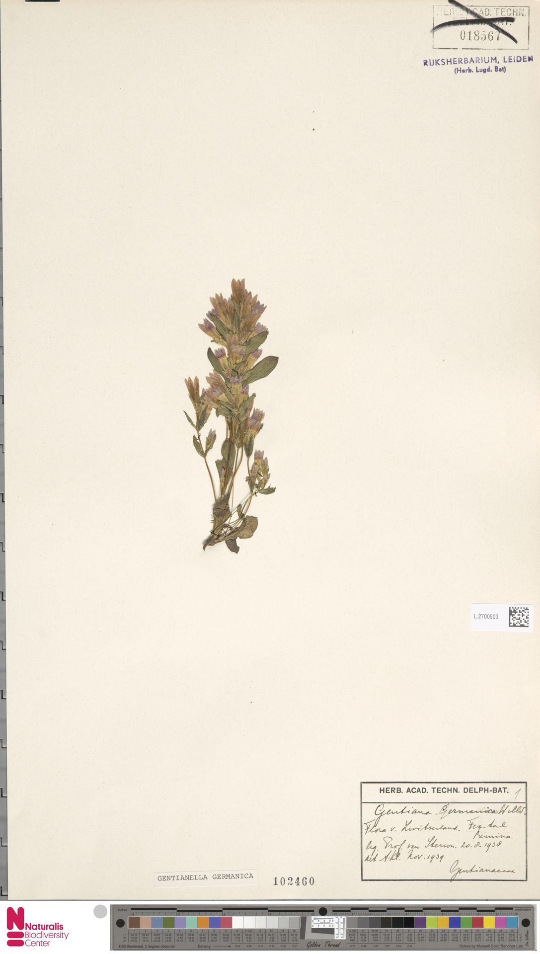 L.2700503 | Gentianella germanica (Willd.) E.F.Warb.