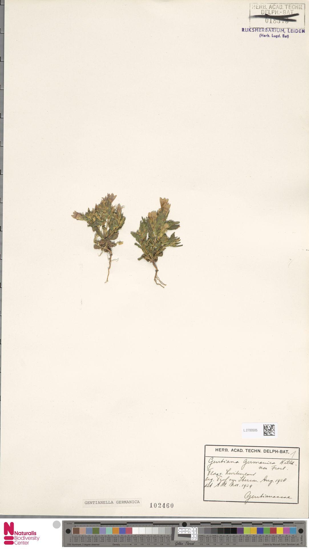 L.2700505 | Gentianella germanica (Willd.) E.F.Warb.
