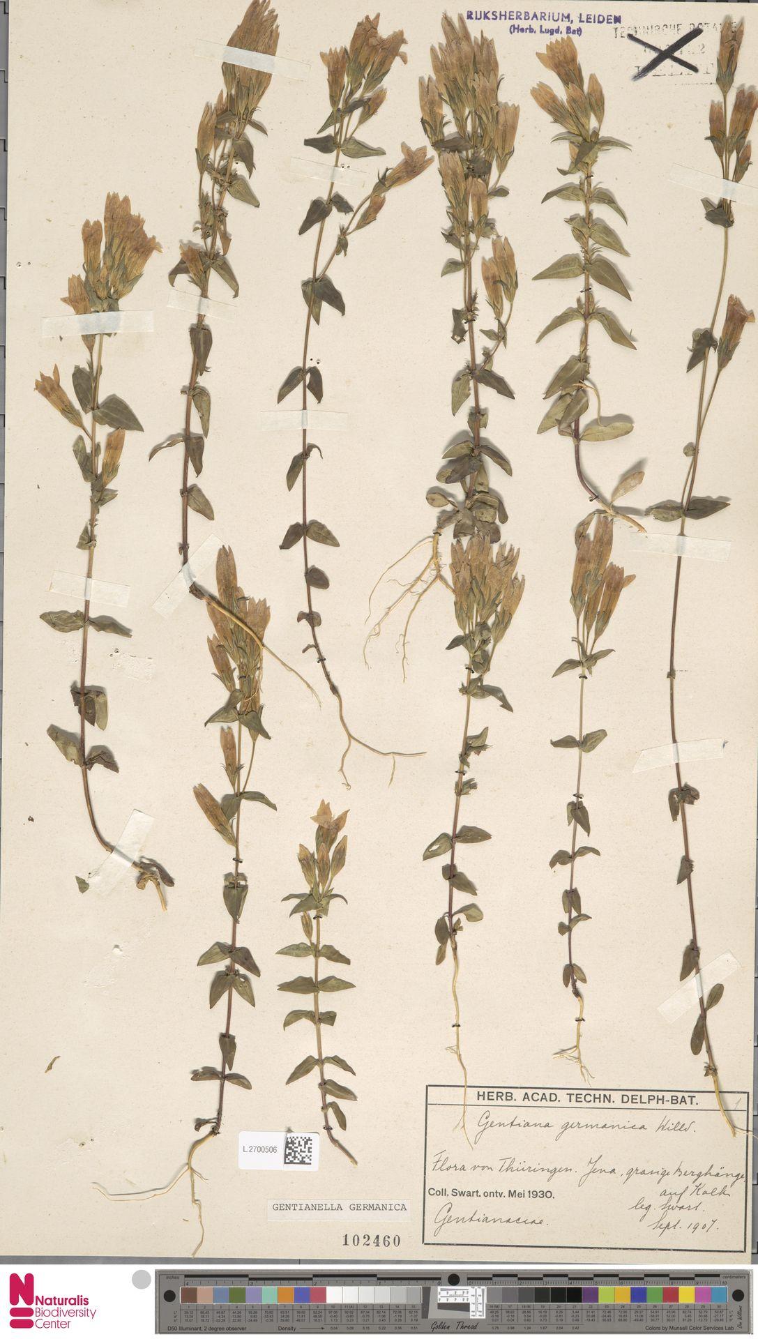 L.2700506 | Gentianella germanica (Willd.) E.F.Warb.