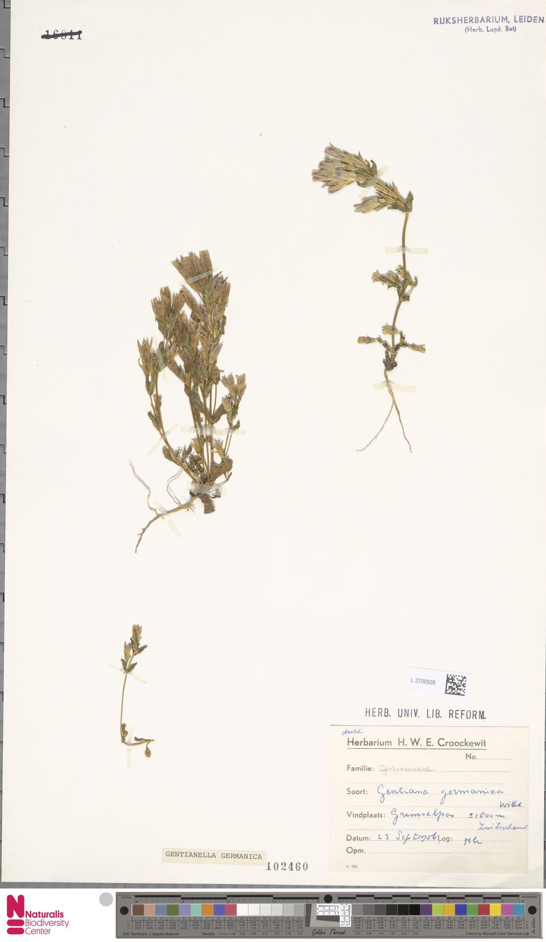 L.2700509 | Gentianella germanica (Willd.) E.F.Warb.