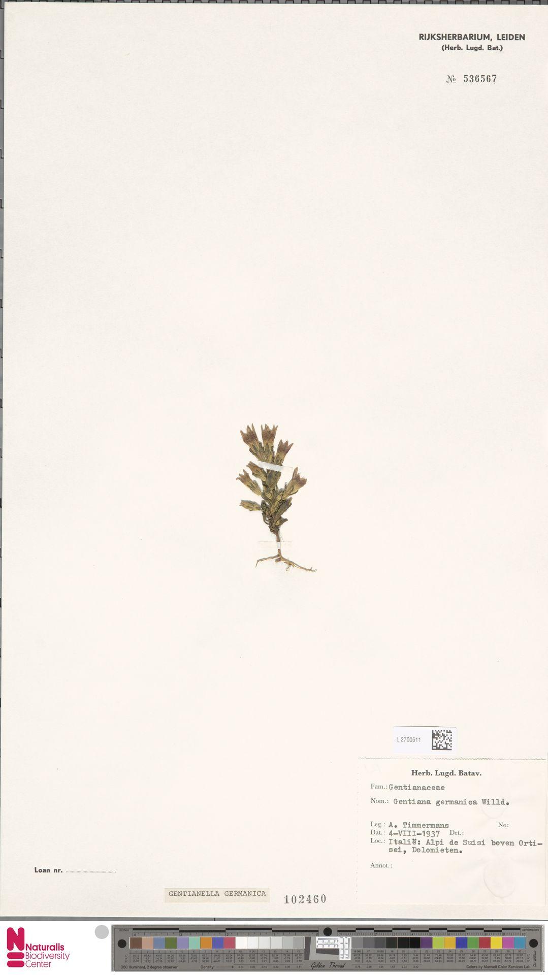 L.2700511 | Gentianella germanica (Willd.) E.F.Warb.
