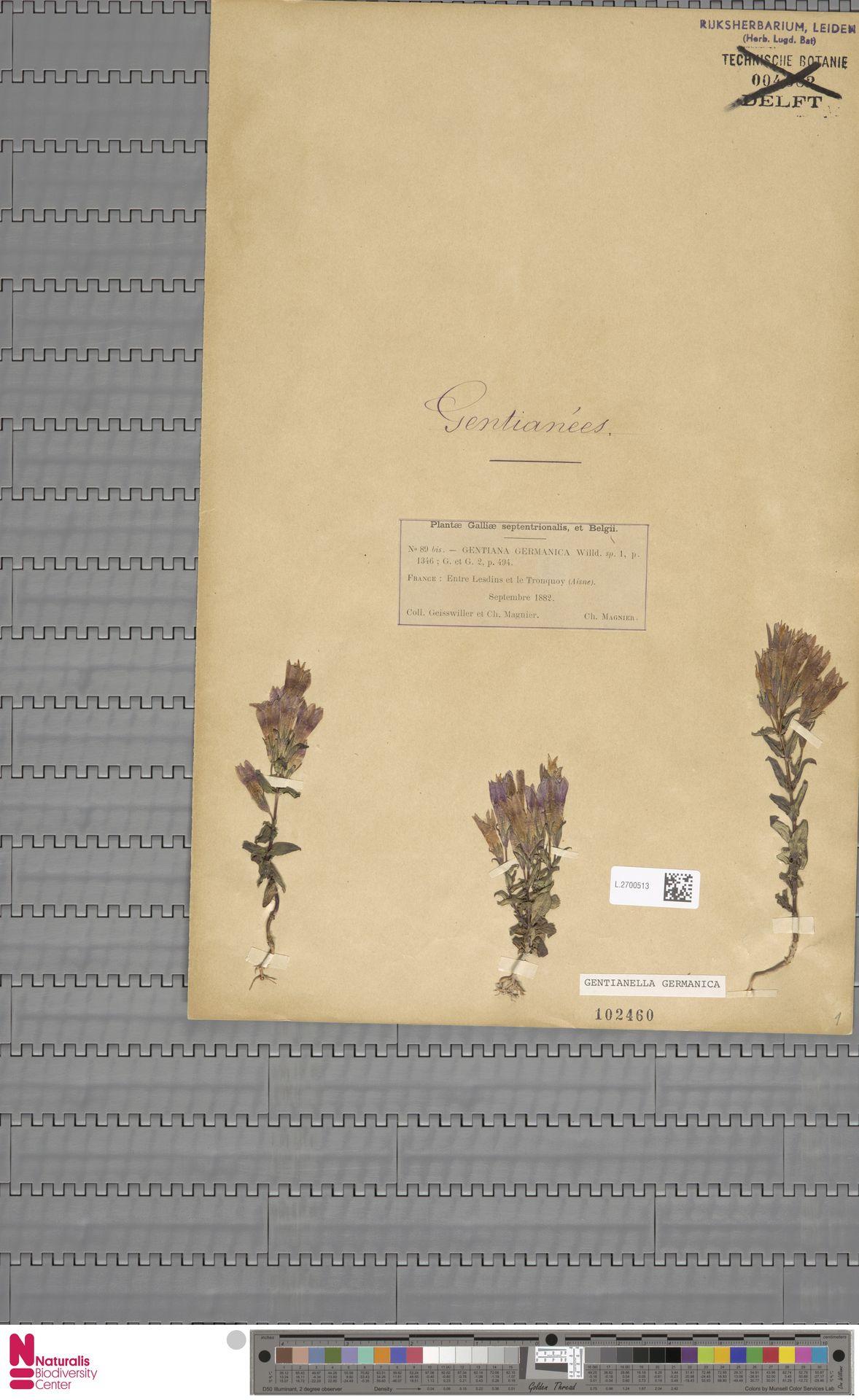 L.2700513 | Gentianella germanica (Willd.) E.F.Warb.