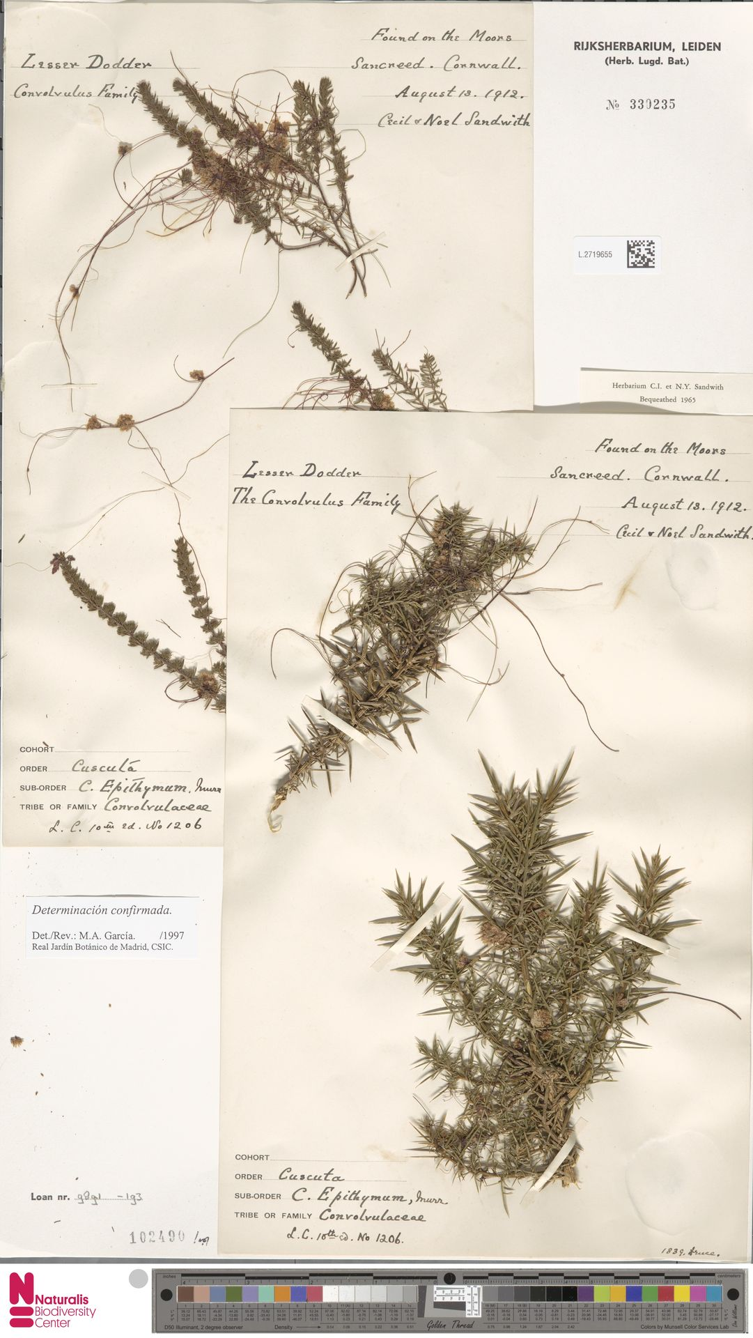 L.2719655   Cuscuta epithymum (L.) L.