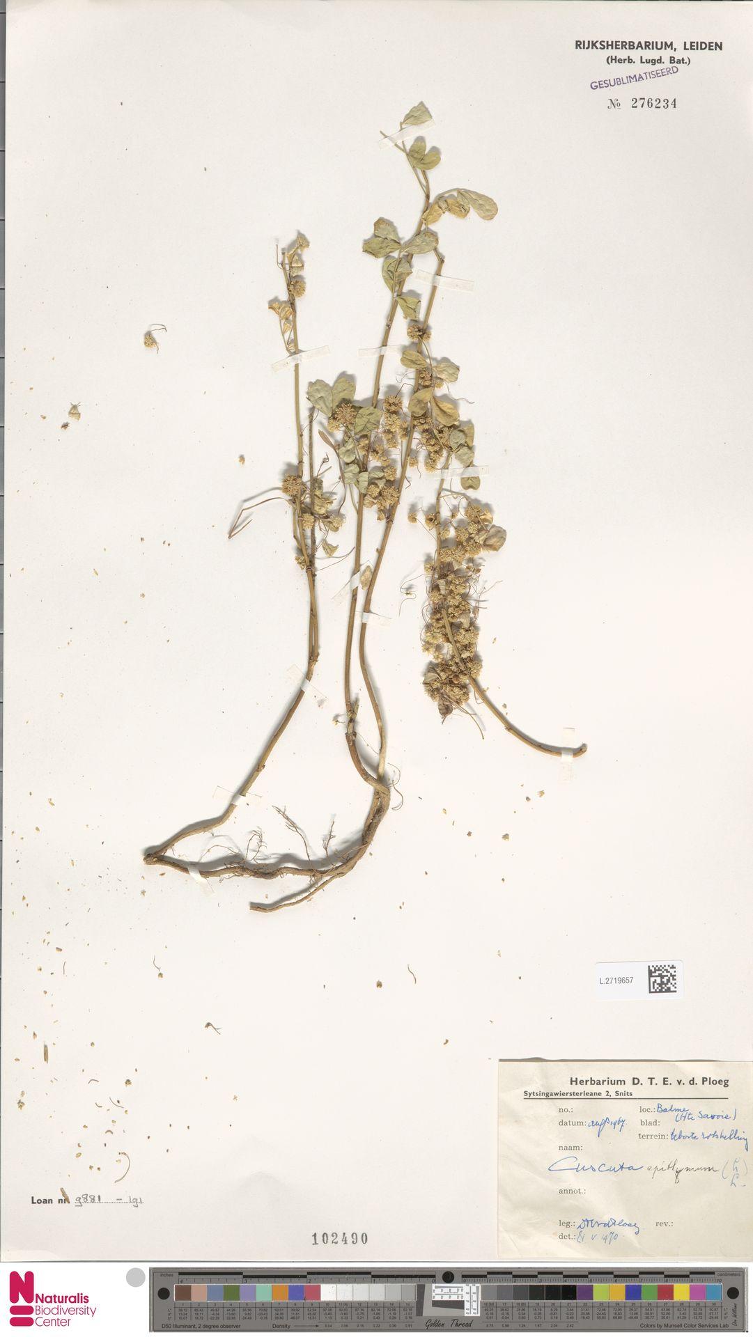 L.2719657 | Cuscuta epithymum (L.) L.