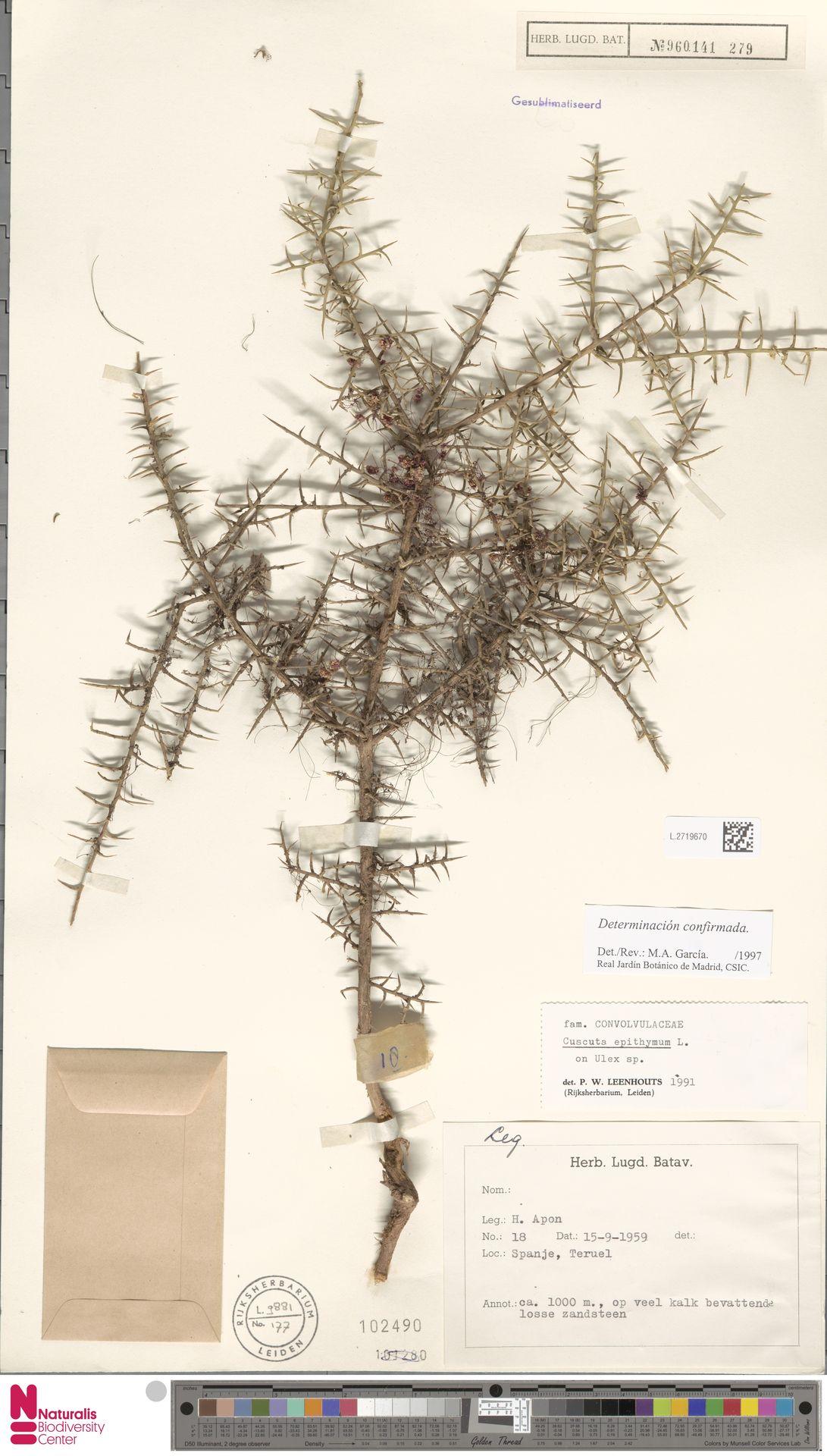 L.2719670   Cuscuta epithymum (L.) L.