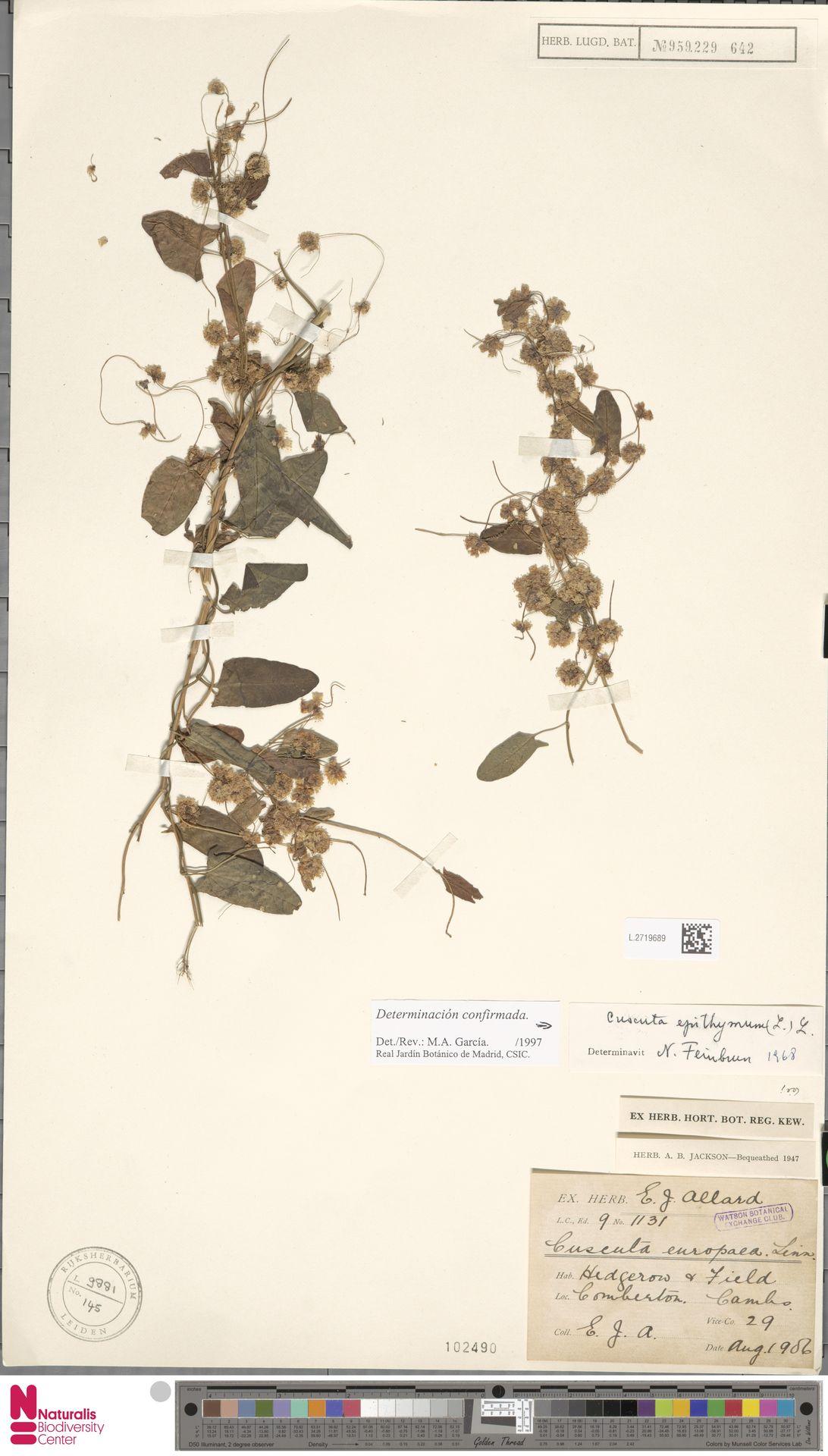 L.2719689   Cuscuta epithymum (L.) L.