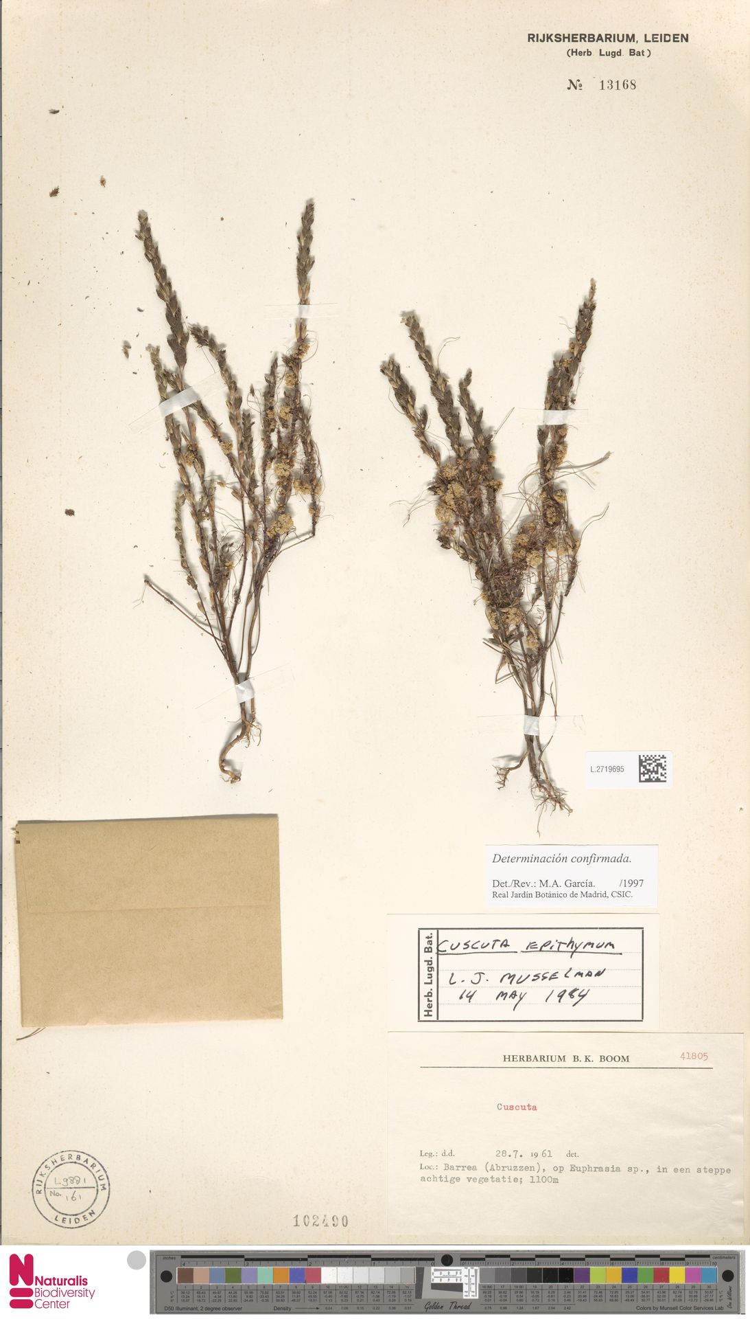 L.2719695   Cuscuta epithymum (L.) L.